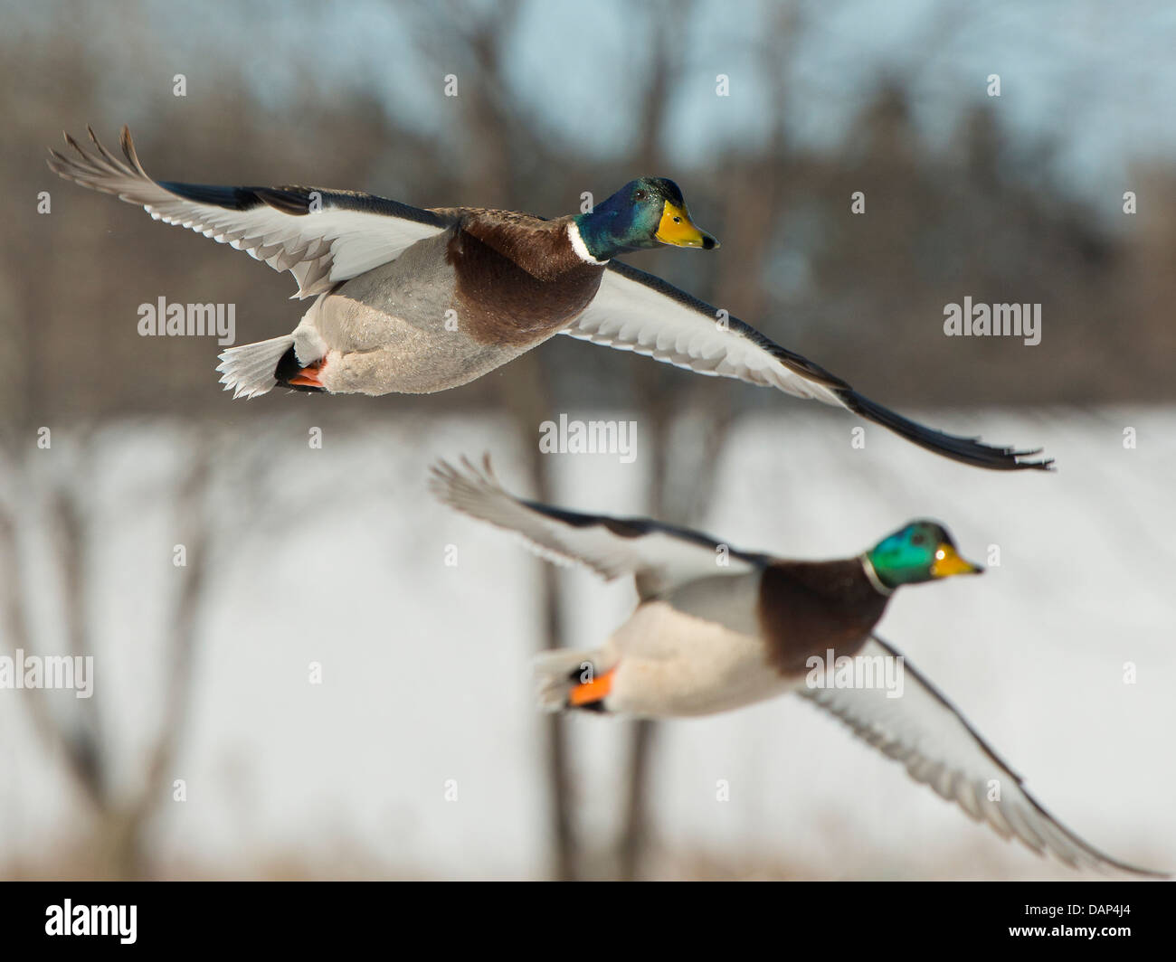 Flying Mallard Ducks - Stock Image