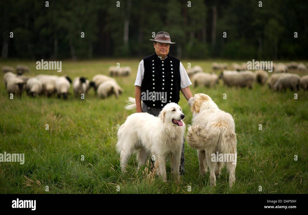 shepherd Frank Neumann and his two Pyrenean mountaindogs stand on a sheep pasture in the Lausitz region near Schleife, - Stock Image