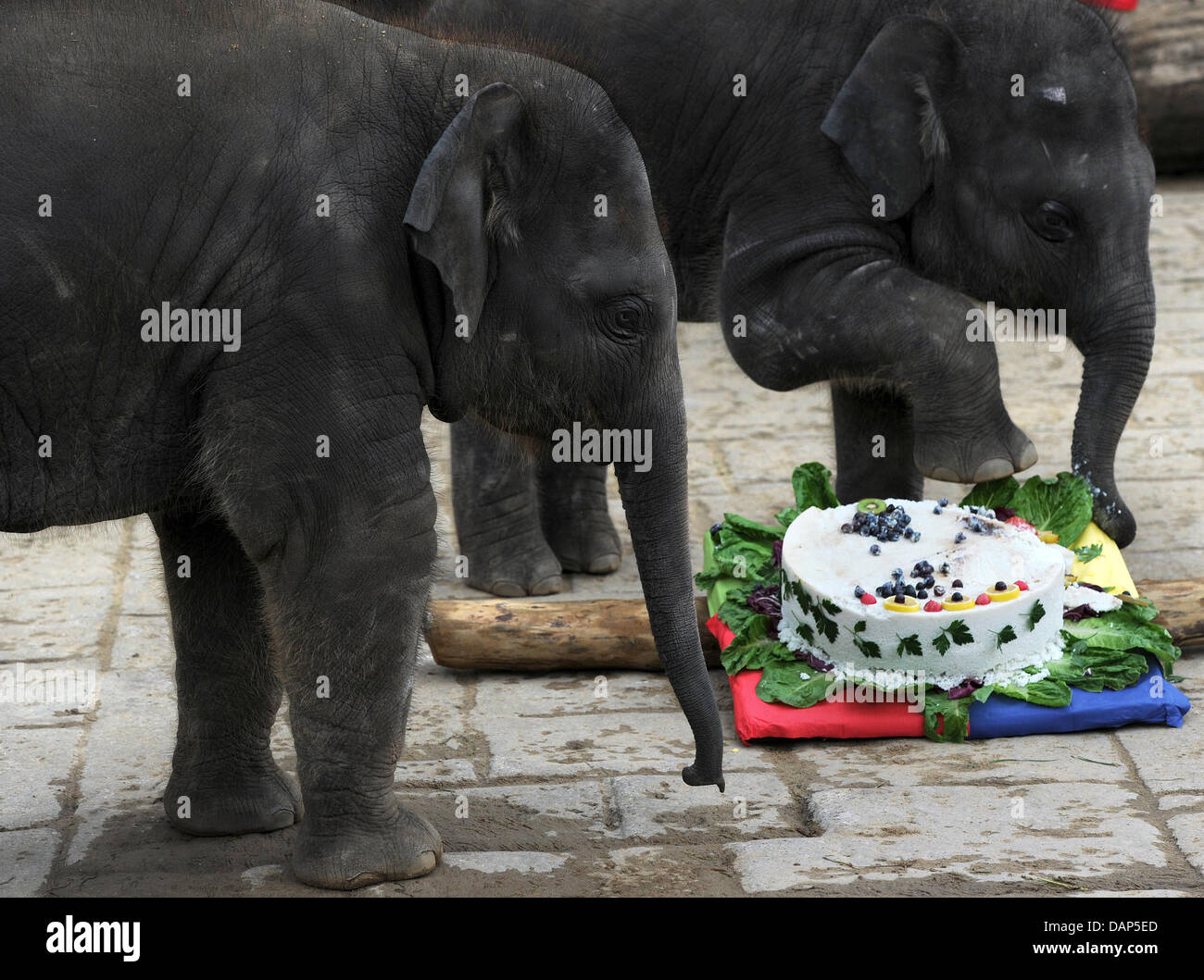 Baby elephant Felix L watches his brother Dinkar R eat some cake