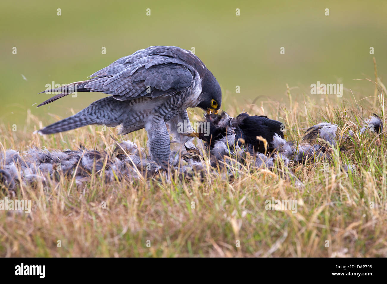 Male Peregrine Falcon with its prey - Stock Image