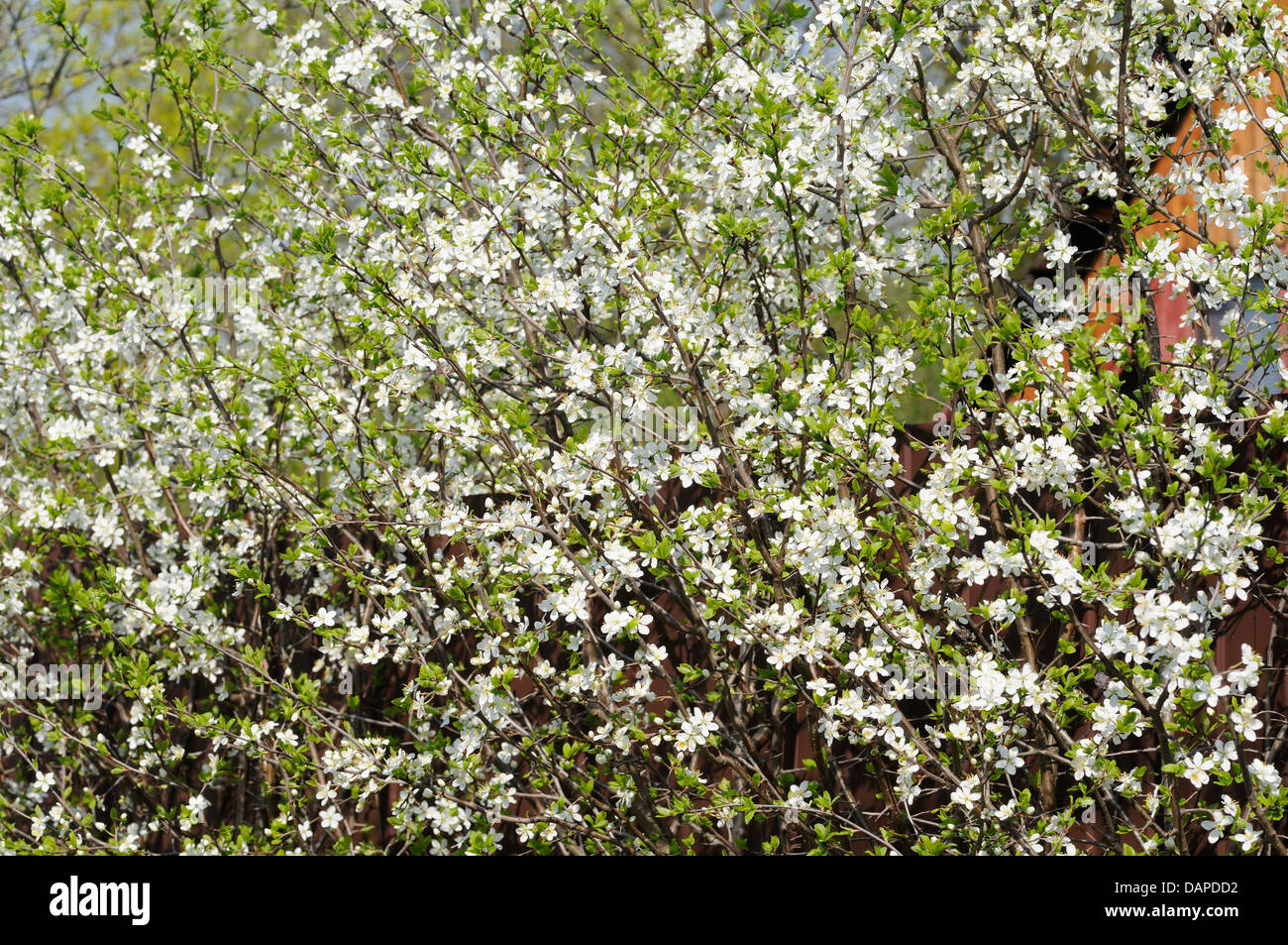 Bush with small white flowers stock photos bush with small white many small white flowers bloom on the bush of blackthorn stock image mightylinksfo
