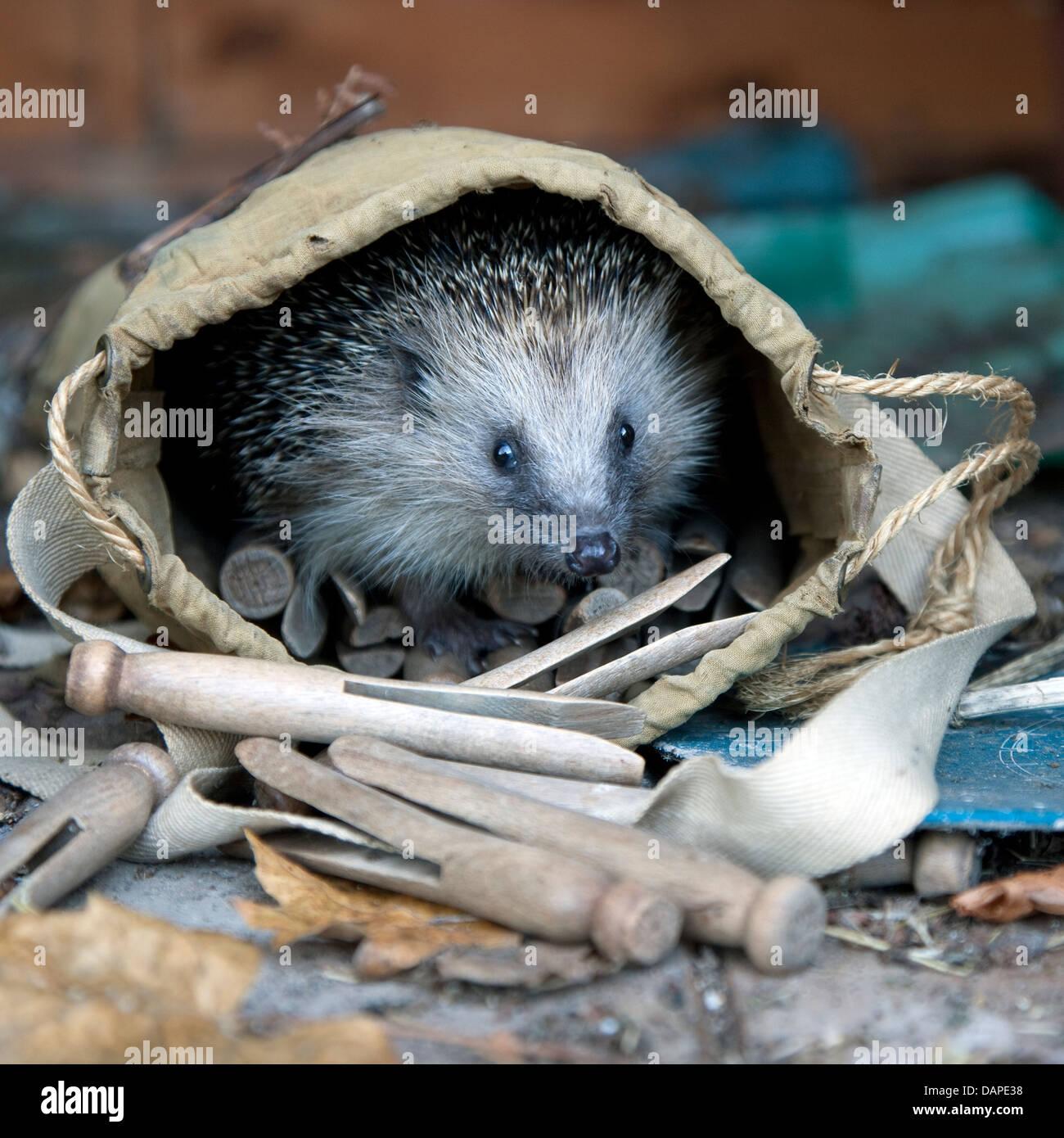European hedgehog in garden Stock Photo