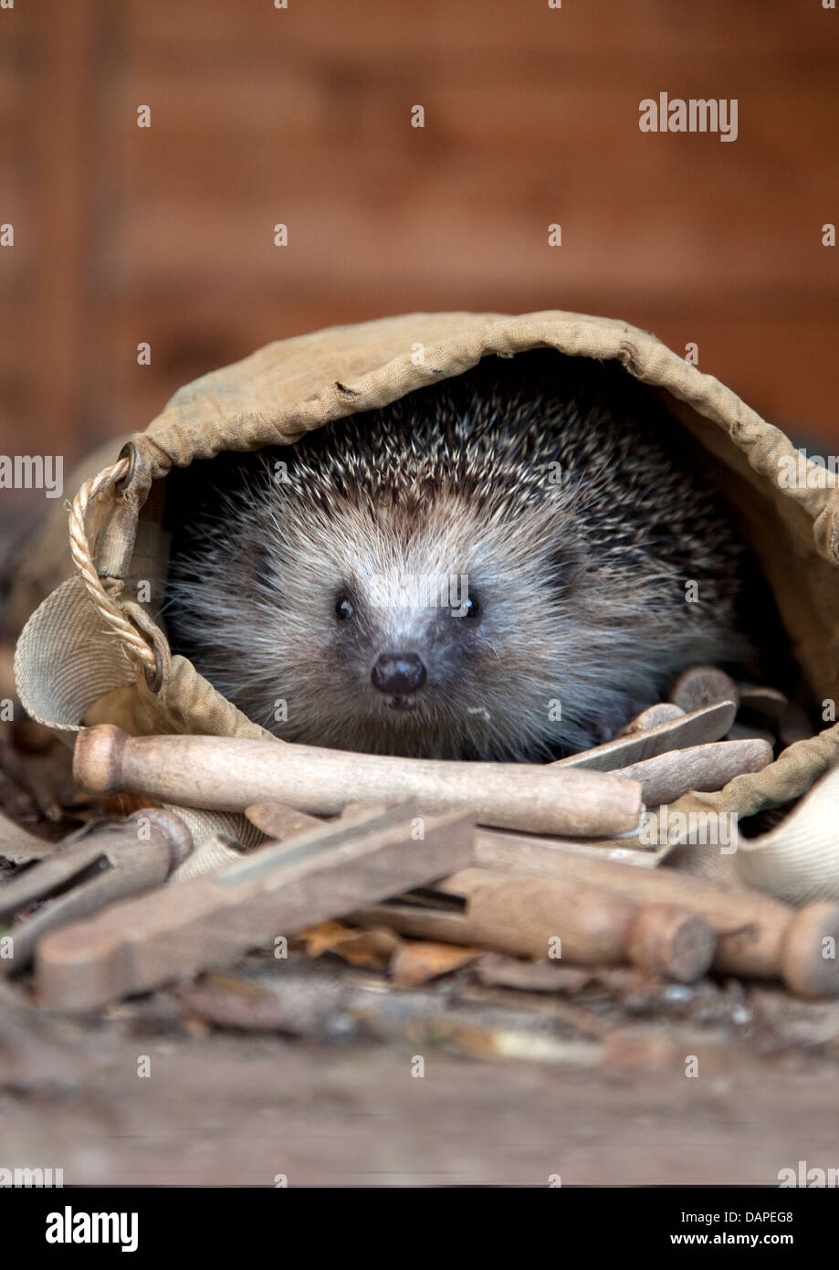 European hedgehog in garden Stock Photo