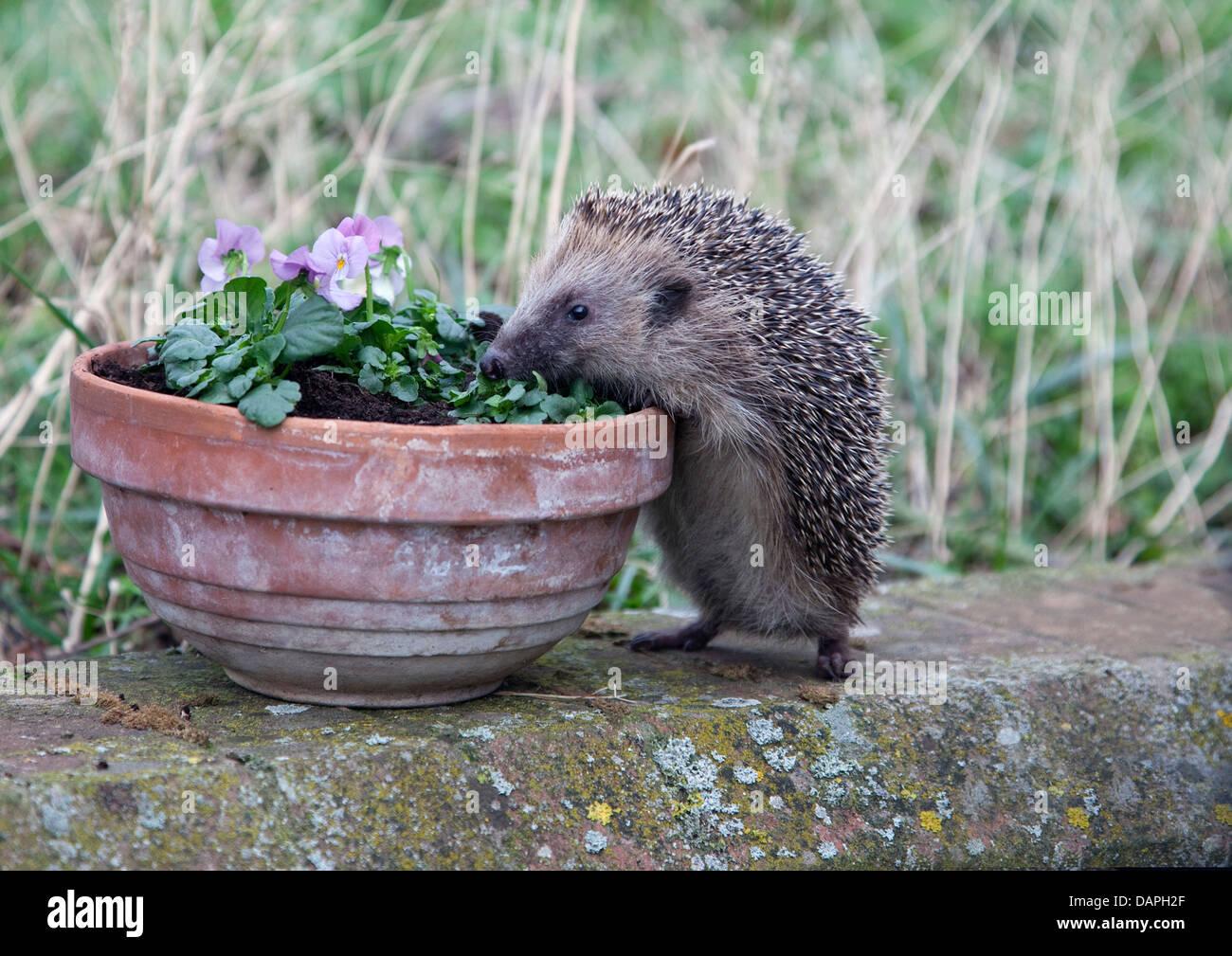 European hedgehog climbing plant pot - Stock Image