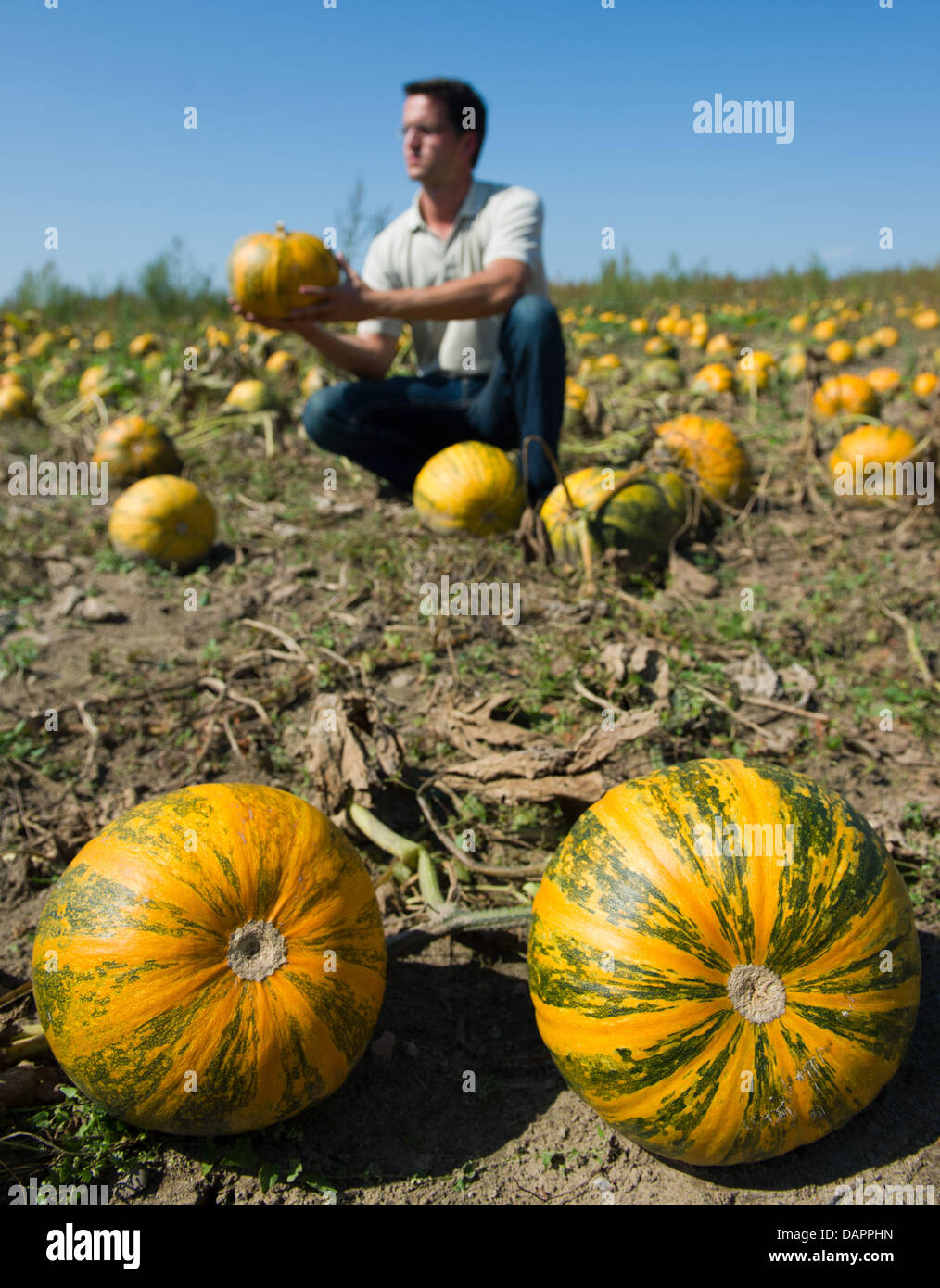 Farmer Thomas Syring of the Syring Feinkost company checks oil squashes planted especially for their seeds on a - Stock Image