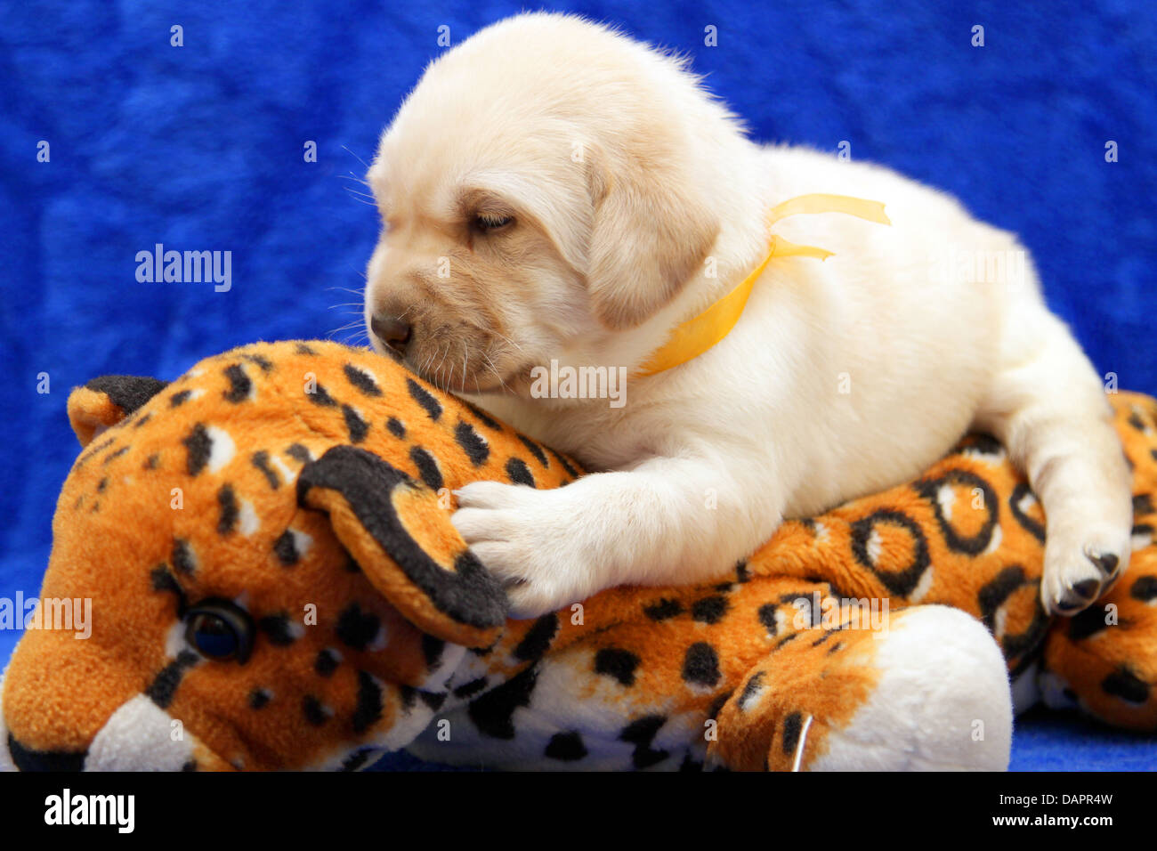 Yellow Labrador Puppy On The Toy Tiger On Blue Background Stock Photo Alamy
