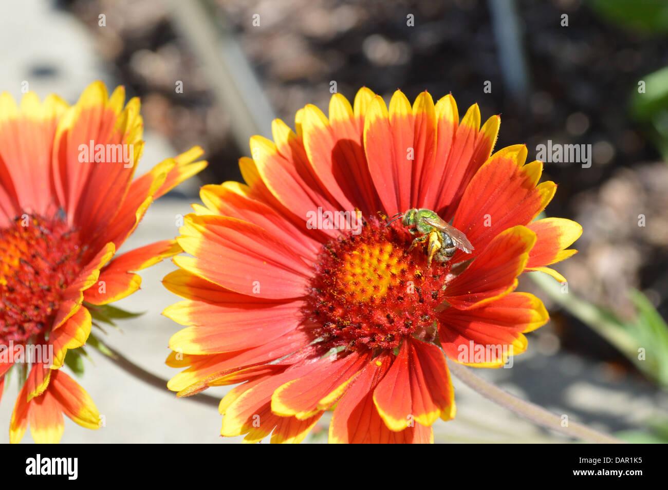 sweat bee, pollinating, dazzler daisy - Stock Image