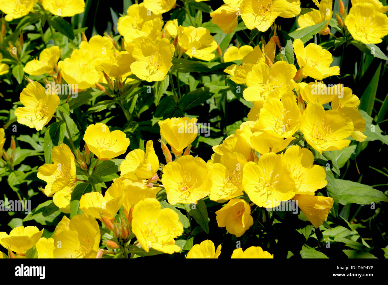 Ranunculus or buttercup flower is a perennial plant usually ranunculus or buttercup flower is a perennial plant usually flowering in the spring and sometimes in the summer mightylinksfo