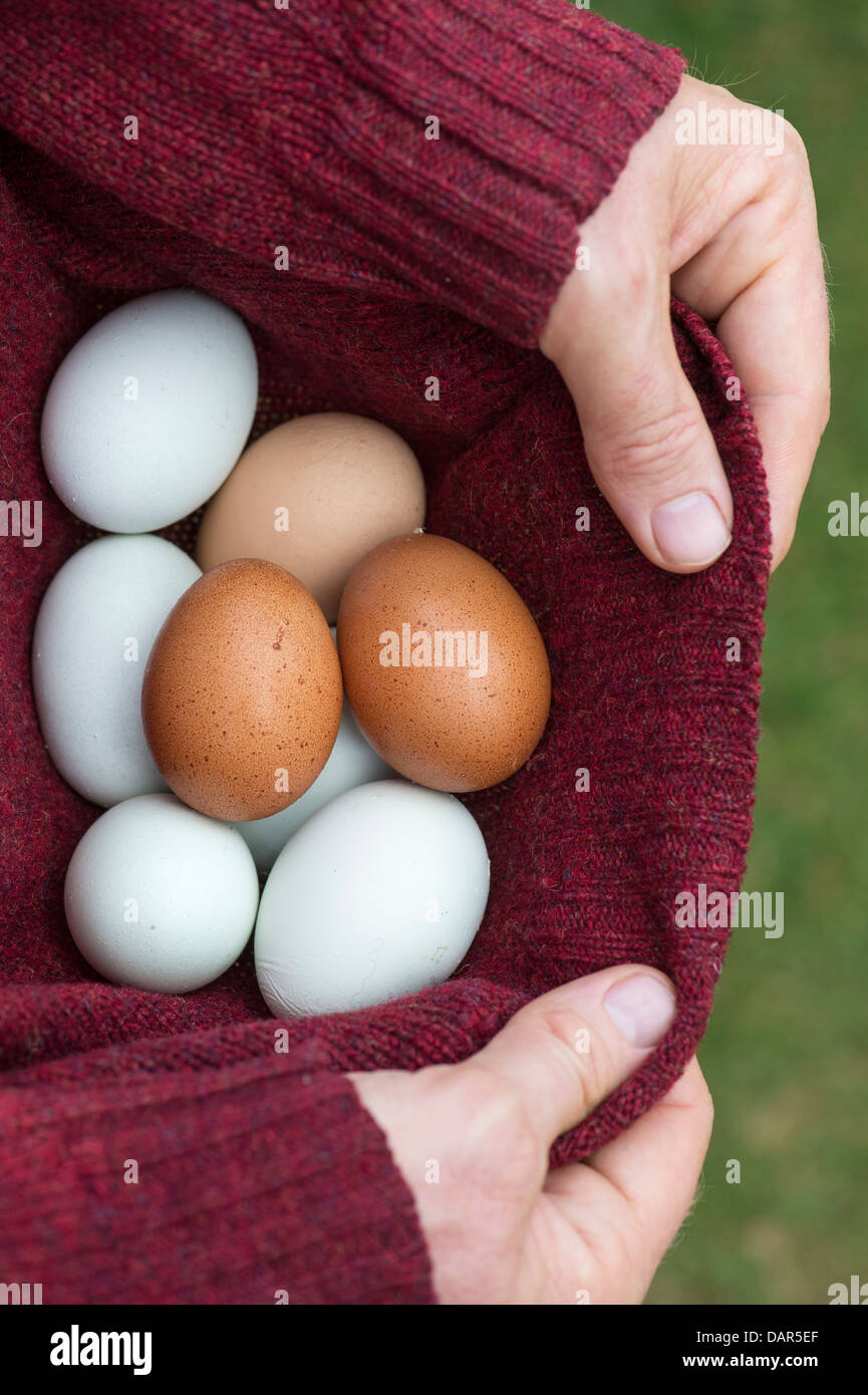 Man collecting freshly laid free range home produced eggs in his jumper - Stock Image