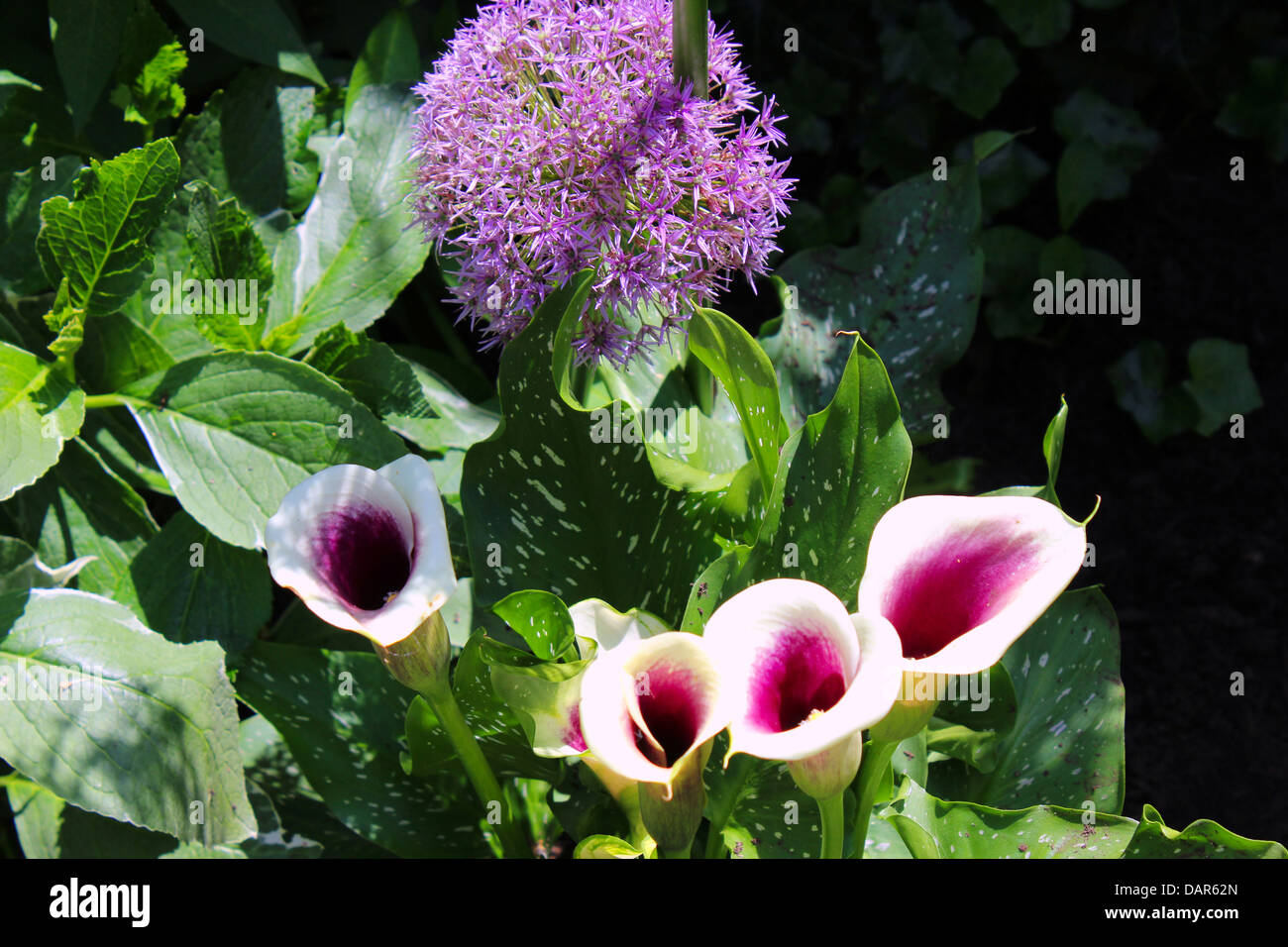 The Globe thistle flower comes in purple and white. The Calla Lily is a perennial plant and is also called Arum - Stock Image