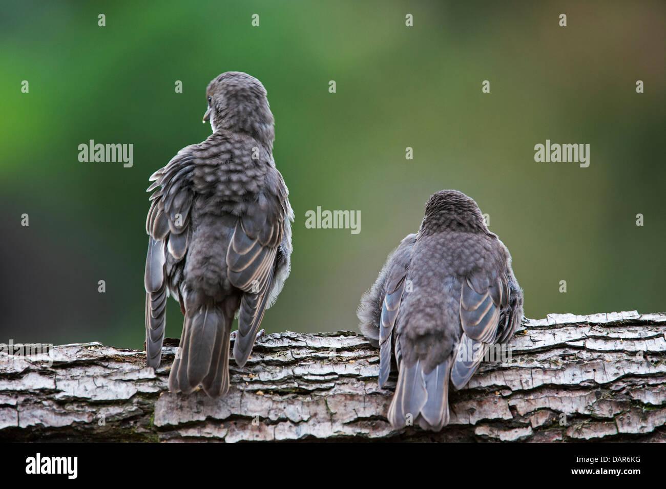 Two Common Starling / European starling (Sturnus vulgaris) fledglings begging for food in spring - Stock Image