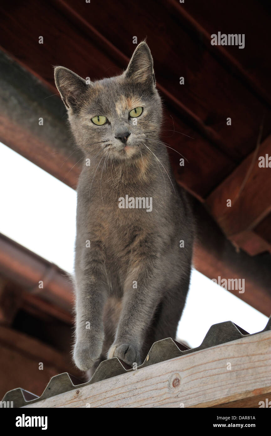 Hauskatze (Felis silvestris forma catus) Domestic cat • Ostalbkreis; Baden- Württemberg; Deutschland Stock Photo