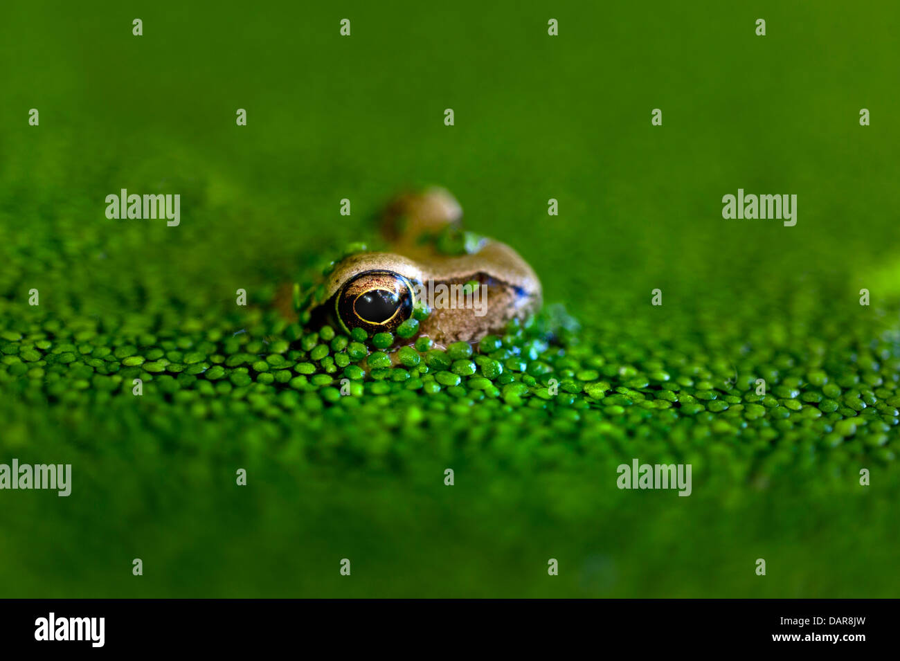 The Common Frog (Rana temporaria) in its native pond habitat in late afternoon sun  surrounded by  life supporting - Stock Image