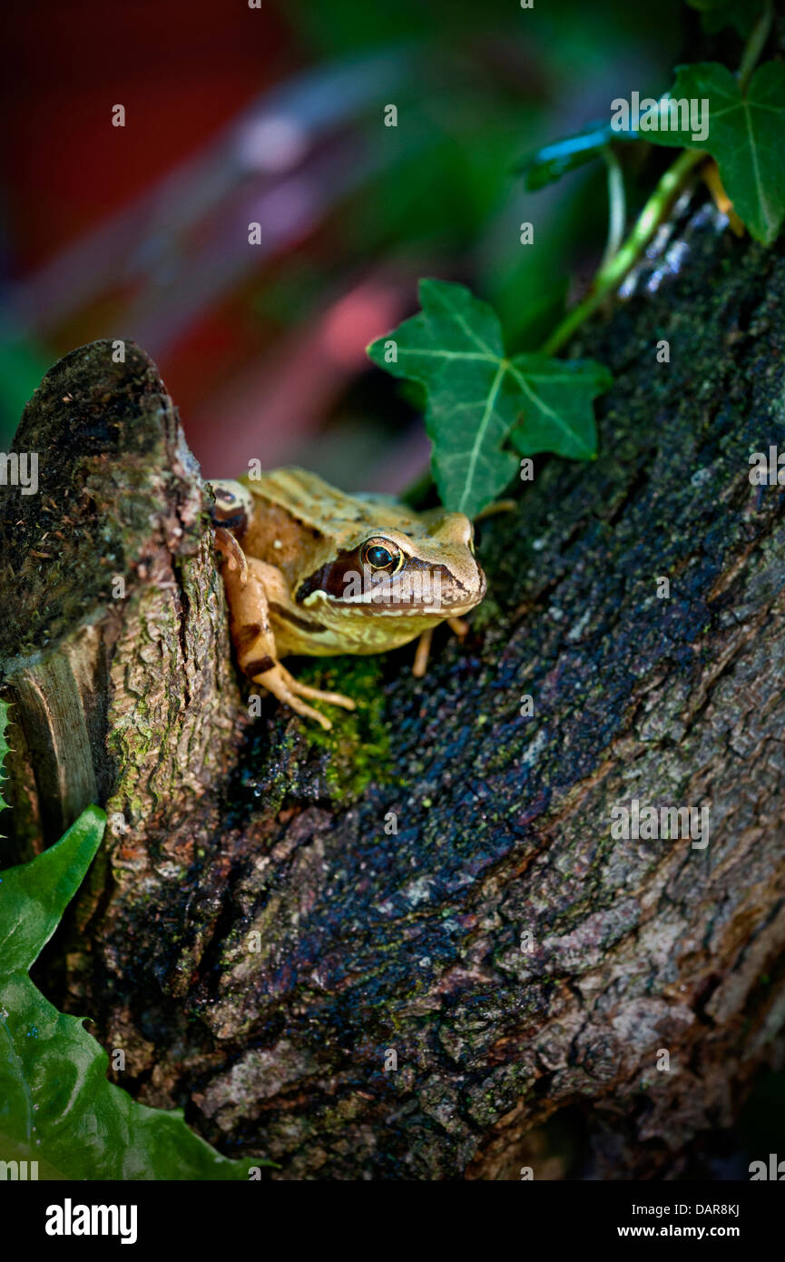 The Common Frog (Rana Temporaria) in its native garden habitat in late afternoon sun - Stock Image