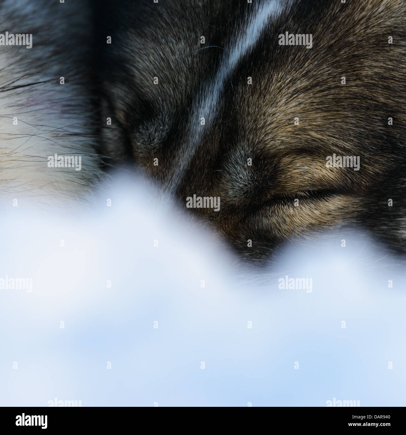 Siberian Husky sleeping, close-up - Stock Image