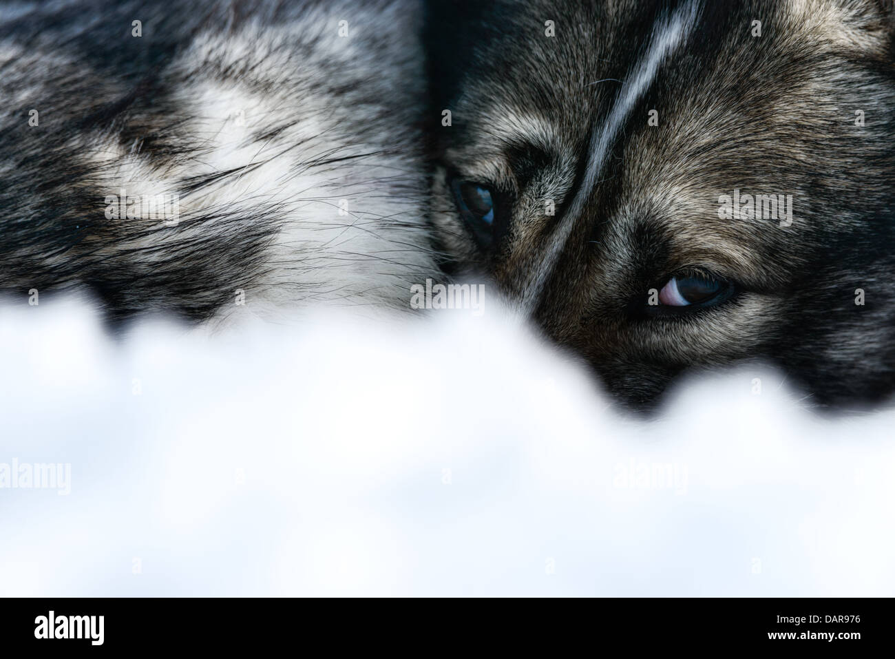 Siberian Husky, close-up of face, Sweden - Stock Image