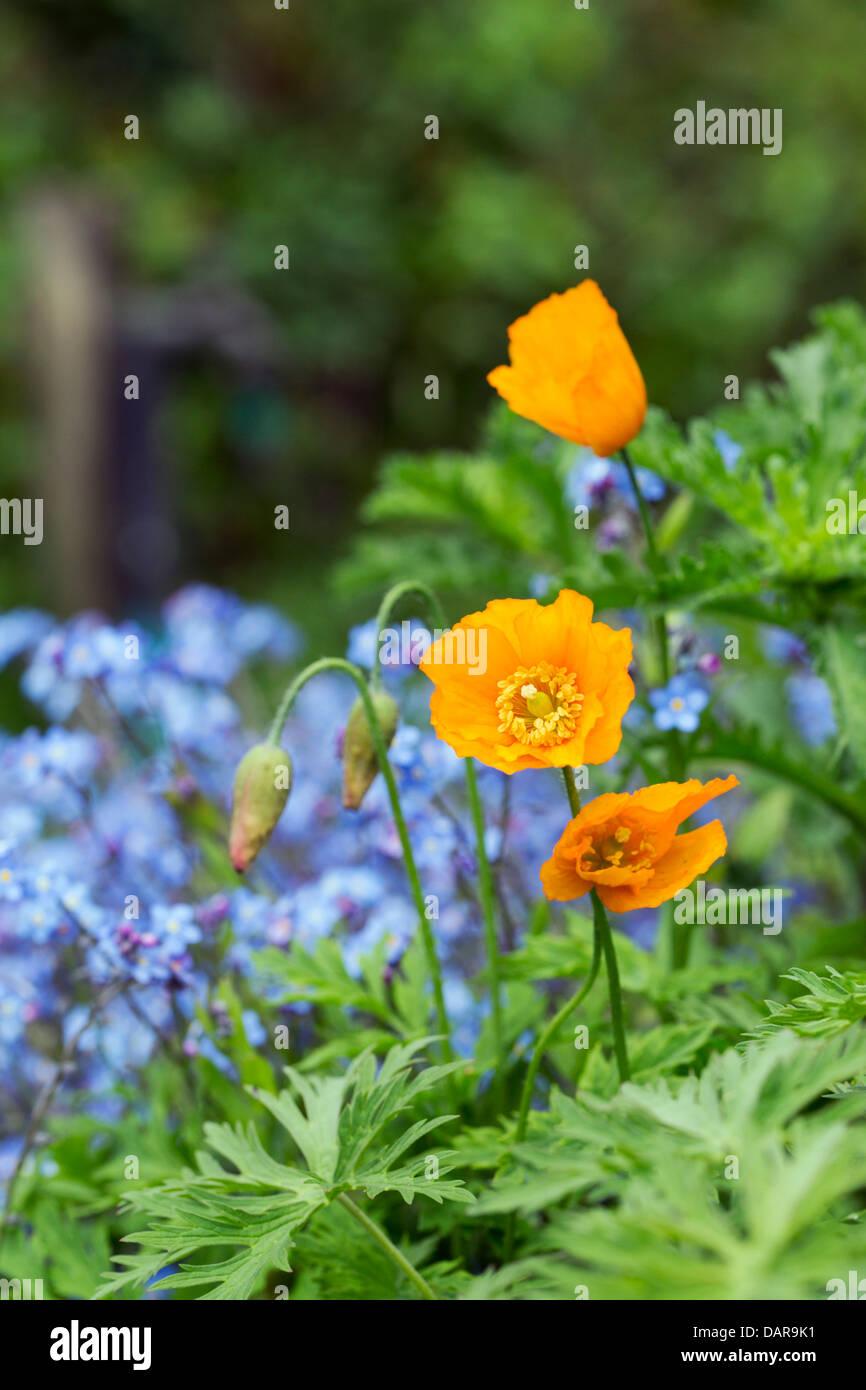 California Poppy; Eschscholzia californica; Cornwall; UK - Stock Image