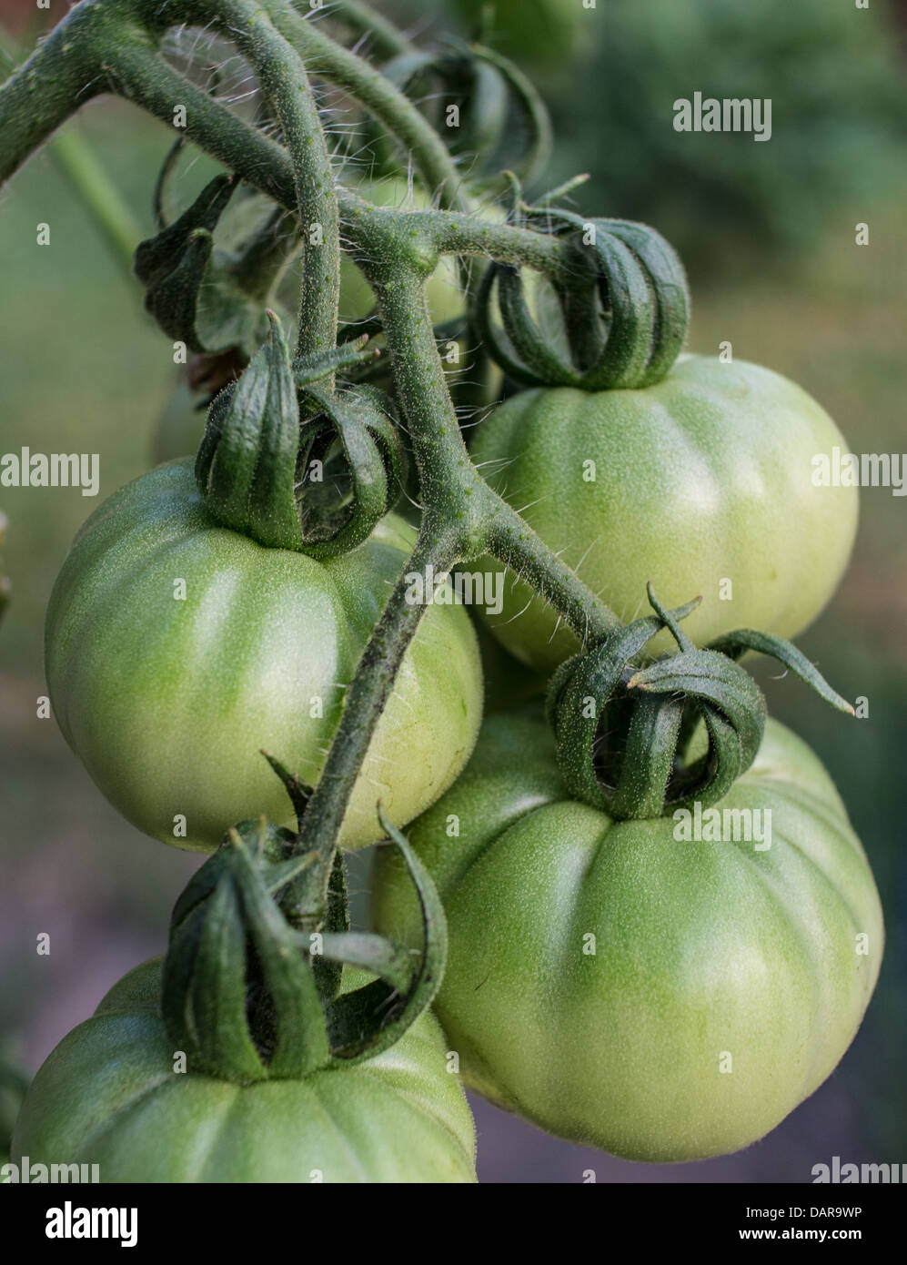 Green Tomatoes - Nice and Plump! - Stock Image