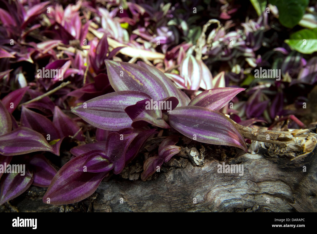 Wandering Jew Plant wild growing Caribbean St Lucia - Stock Image