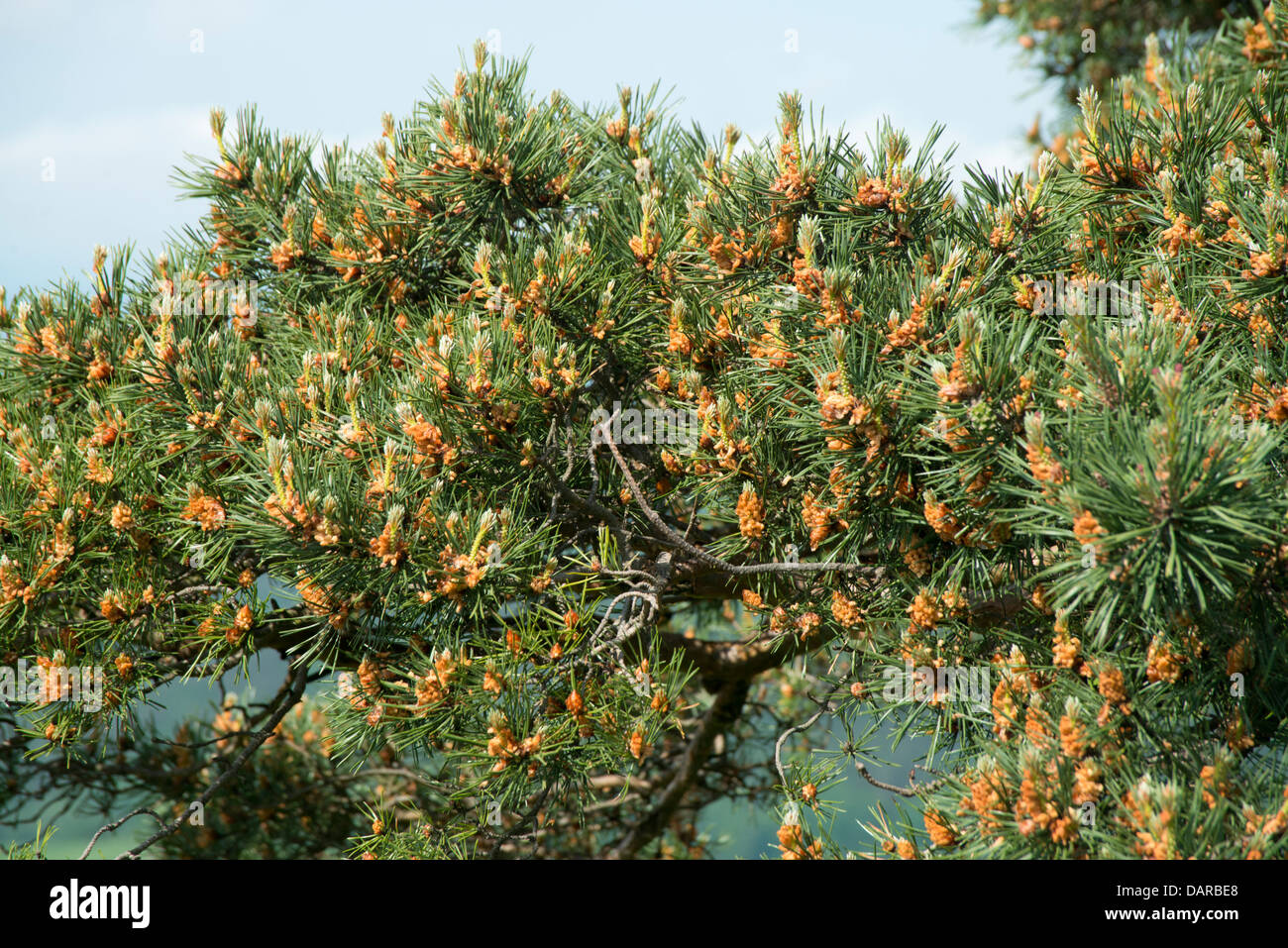Hundreds of pinecones on a large branch of an evergreen tree against a sky background - Stock Image