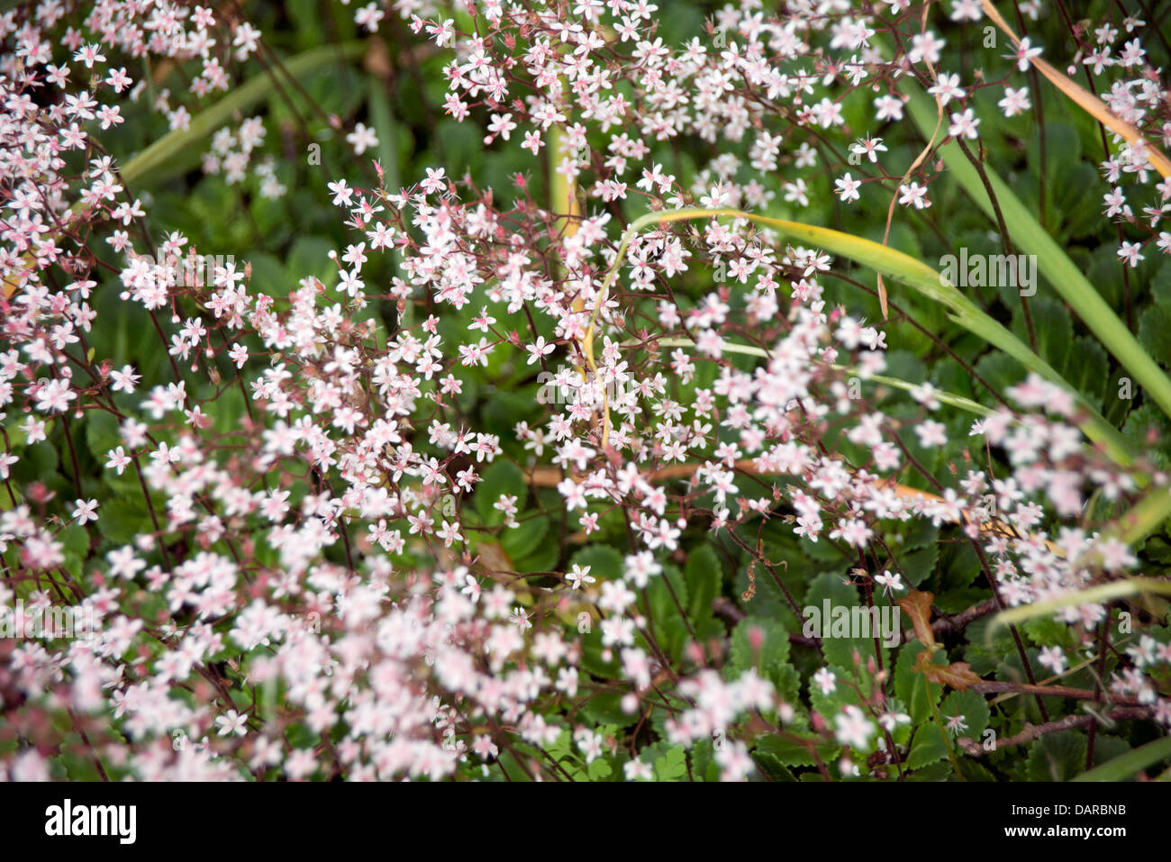 Tiny pink flowers stock photos tiny pink flowers stock images alamy hundreds of tiny pink white flowers against a green leafy background stock image mightylinksfo
