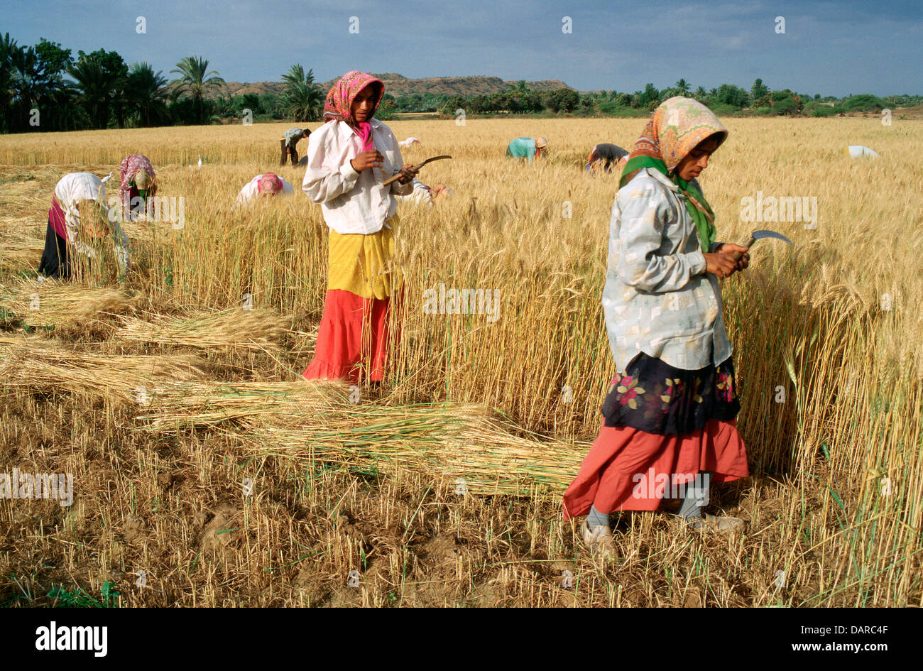 Traditionally dressed women are harvesting wheat ( India) - Stock Image