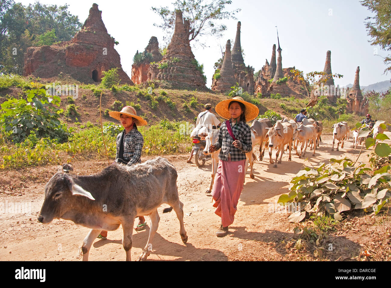 Village girls herding cattle past ancient stupas in ruins near Indein village on Inle Lake, Shan state. - Stock Image
