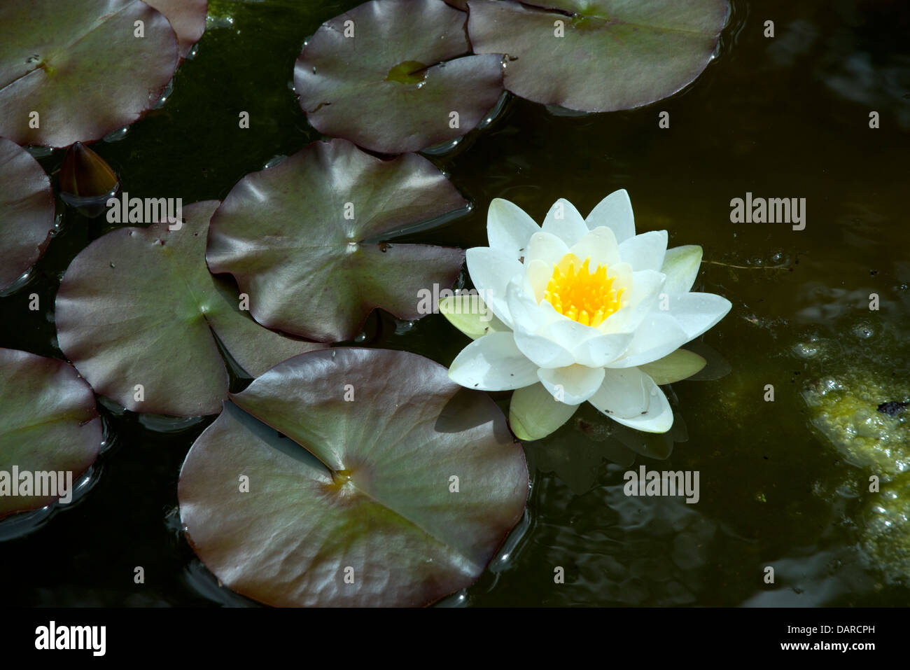 A Purple Lily And Lily Pads Floating In A Pond Stock Photos A