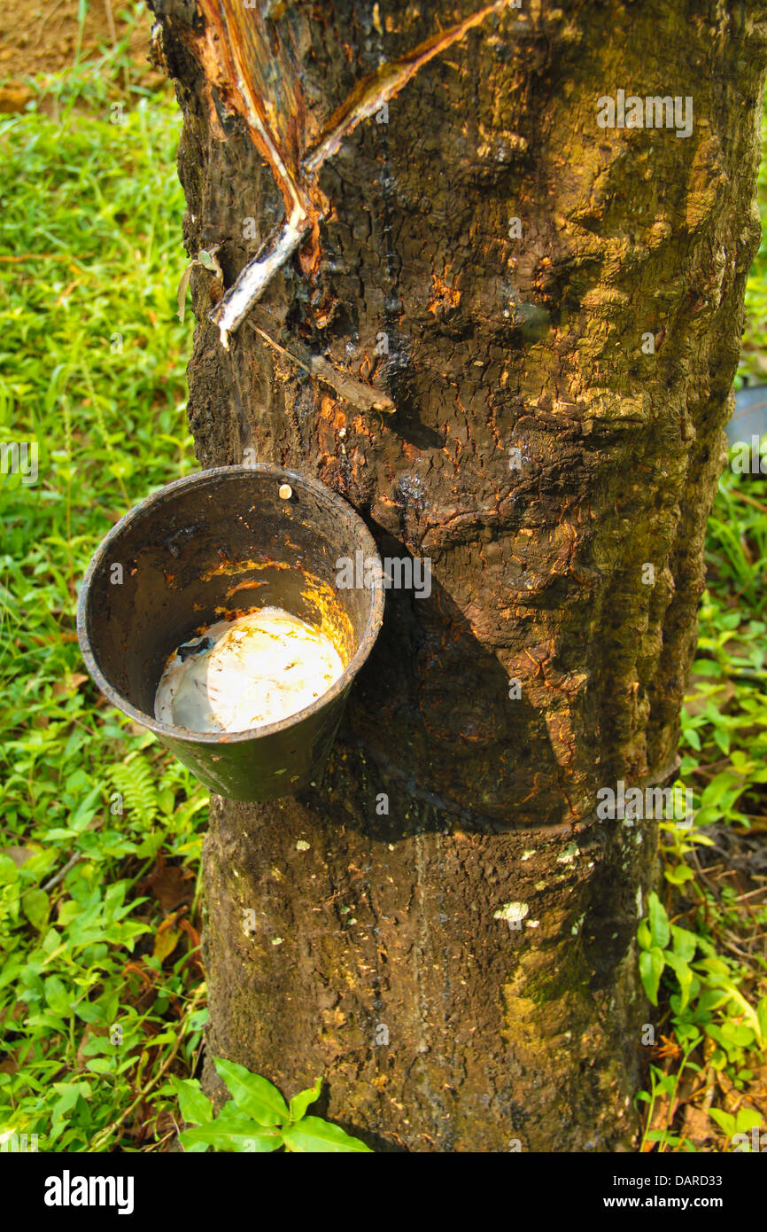 Rubber tapping industry - Stock Image