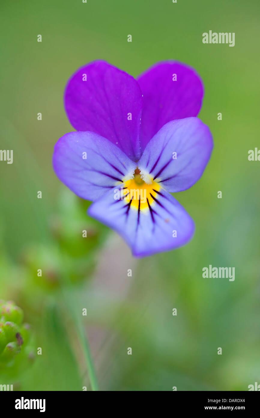 Viola plant - Stock Image
