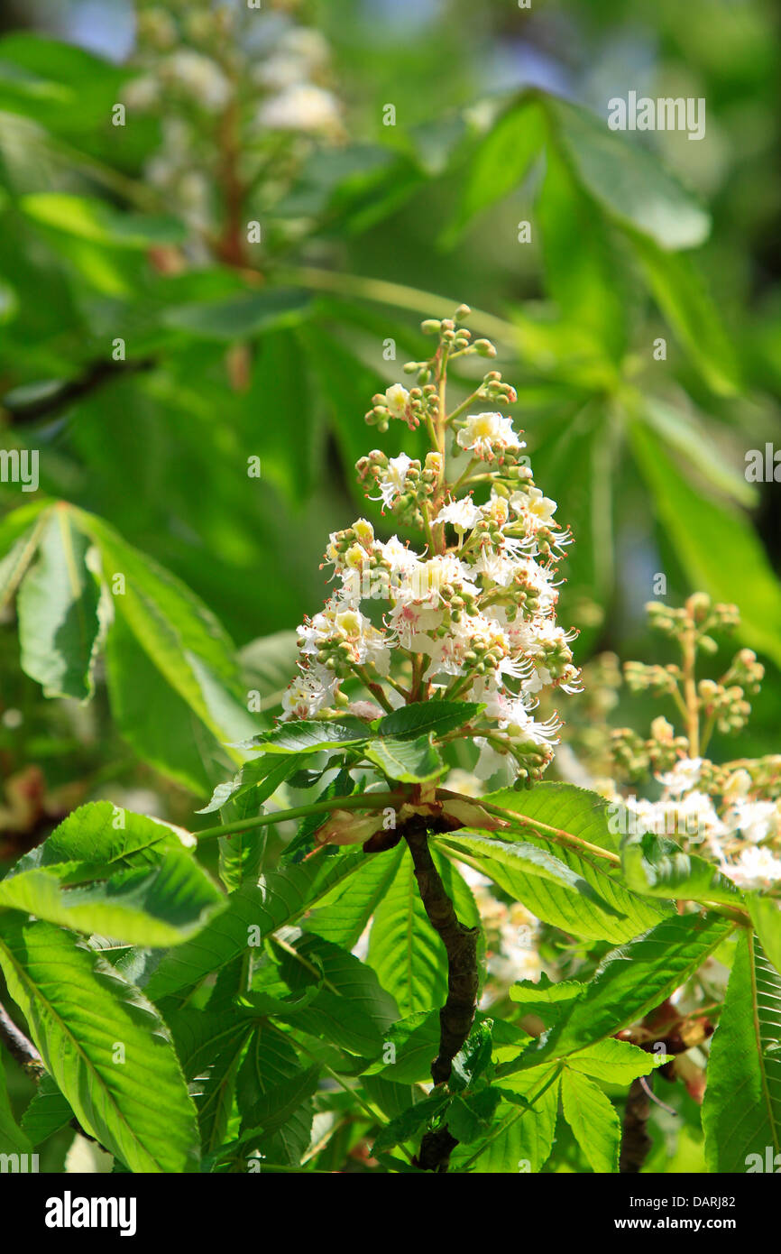 Horse-chestnut (Aesculus hippocastanum, Conker tree) Stock Photo