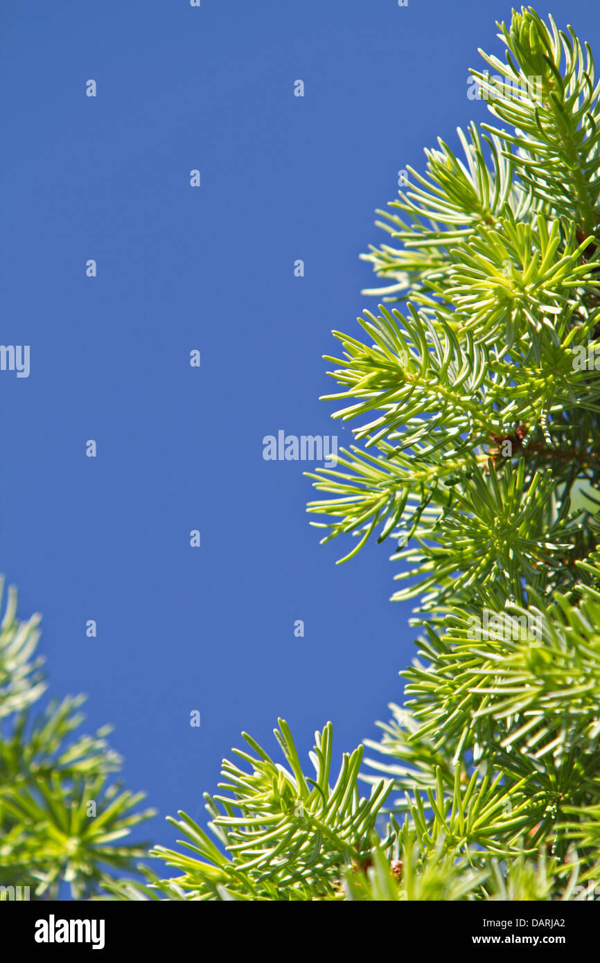 pine branches - Stock Image
