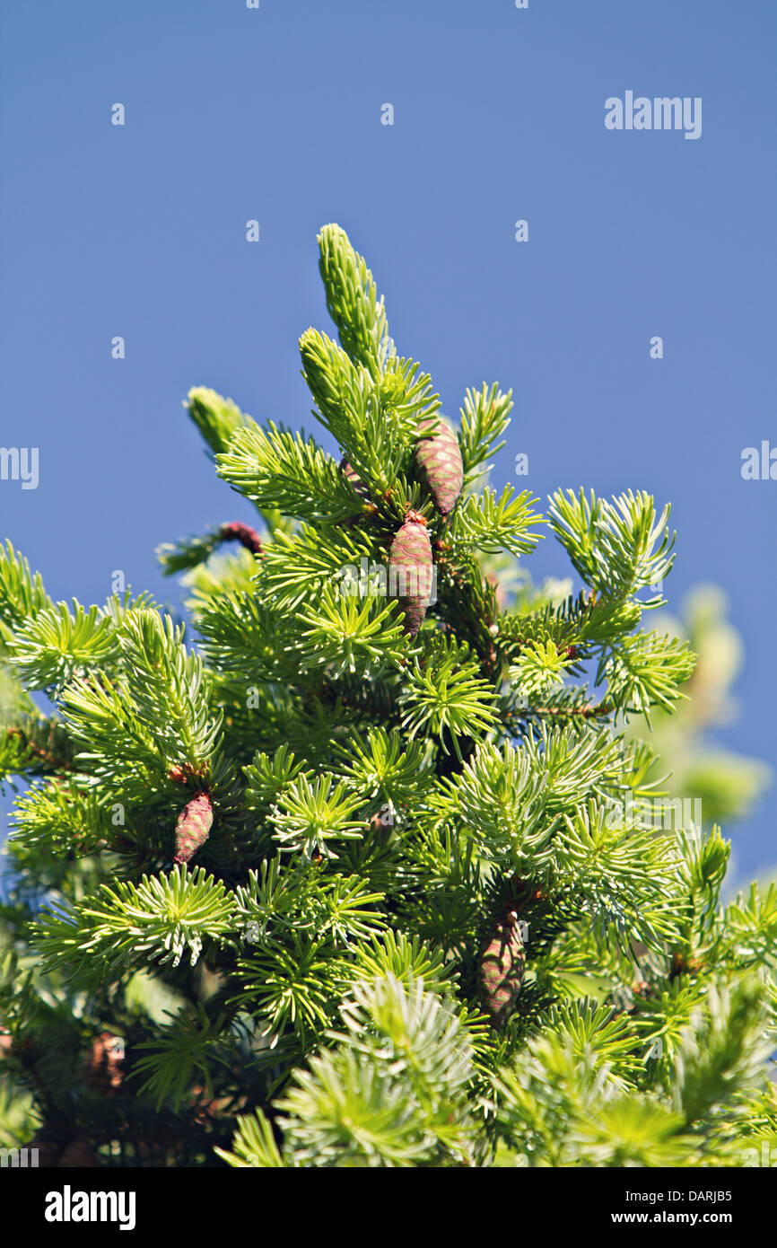 pine tree - Stock Image