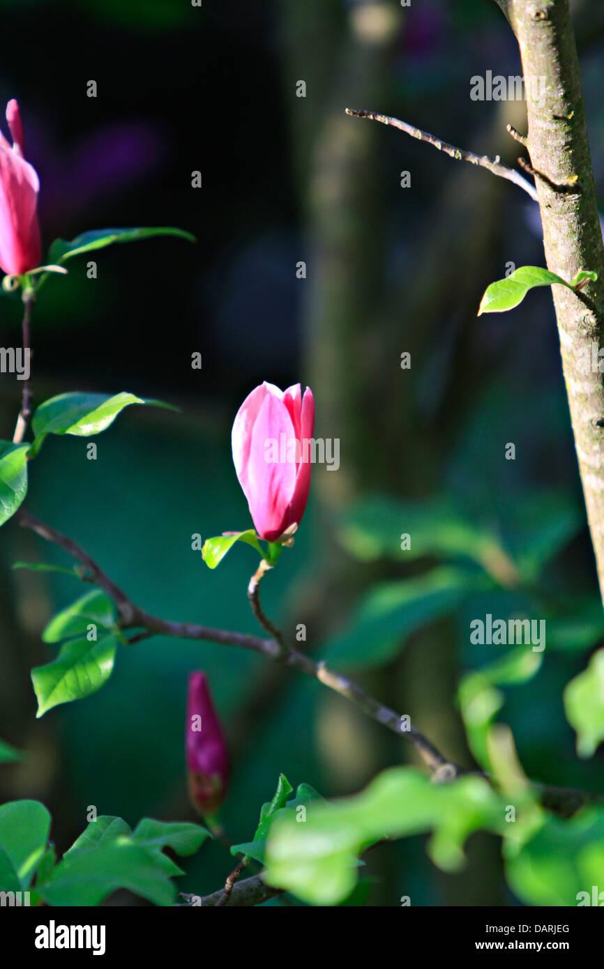 Mulan magnolia, Tulip magnolia or Lily magnolia (Magnolia liliiflora) Stock Photo