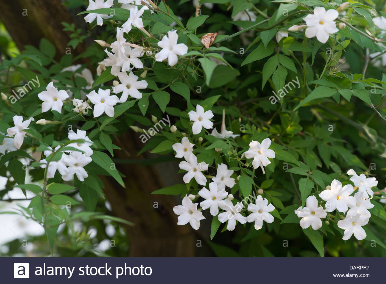 Jasminum officinale clotted cream jasmine flowers stock photo jasminum officinale clotted cream jasmine flowers izmirmasajfo