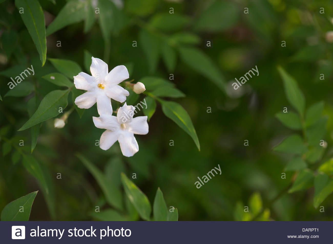 Jasminum Officinale Clotted Cream Jasmine Flowers Stock Photo