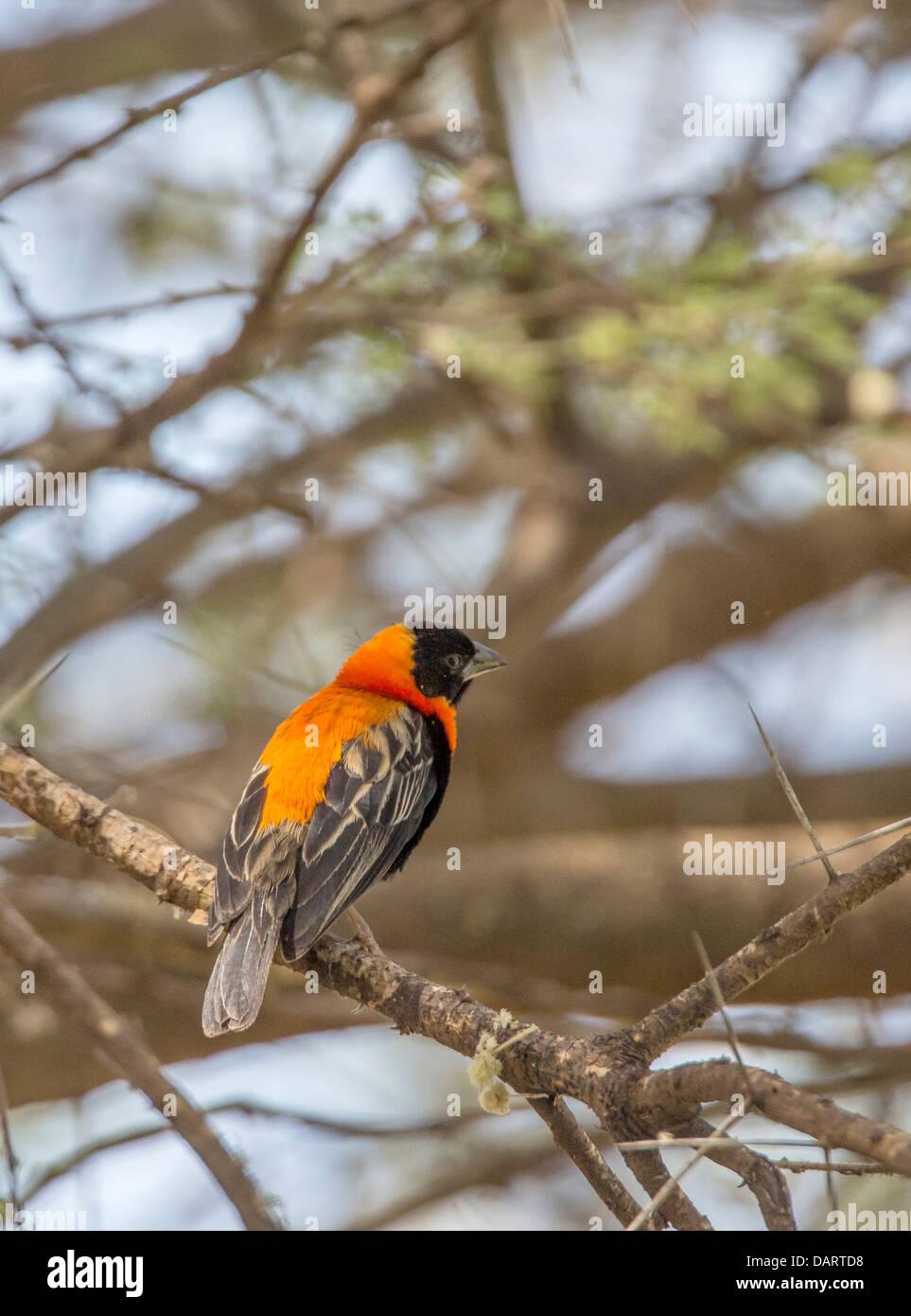 Africa, Tanzania. Lake Manyara National Park. Southern Red Bishop (Euplectes orix). - Stock Image