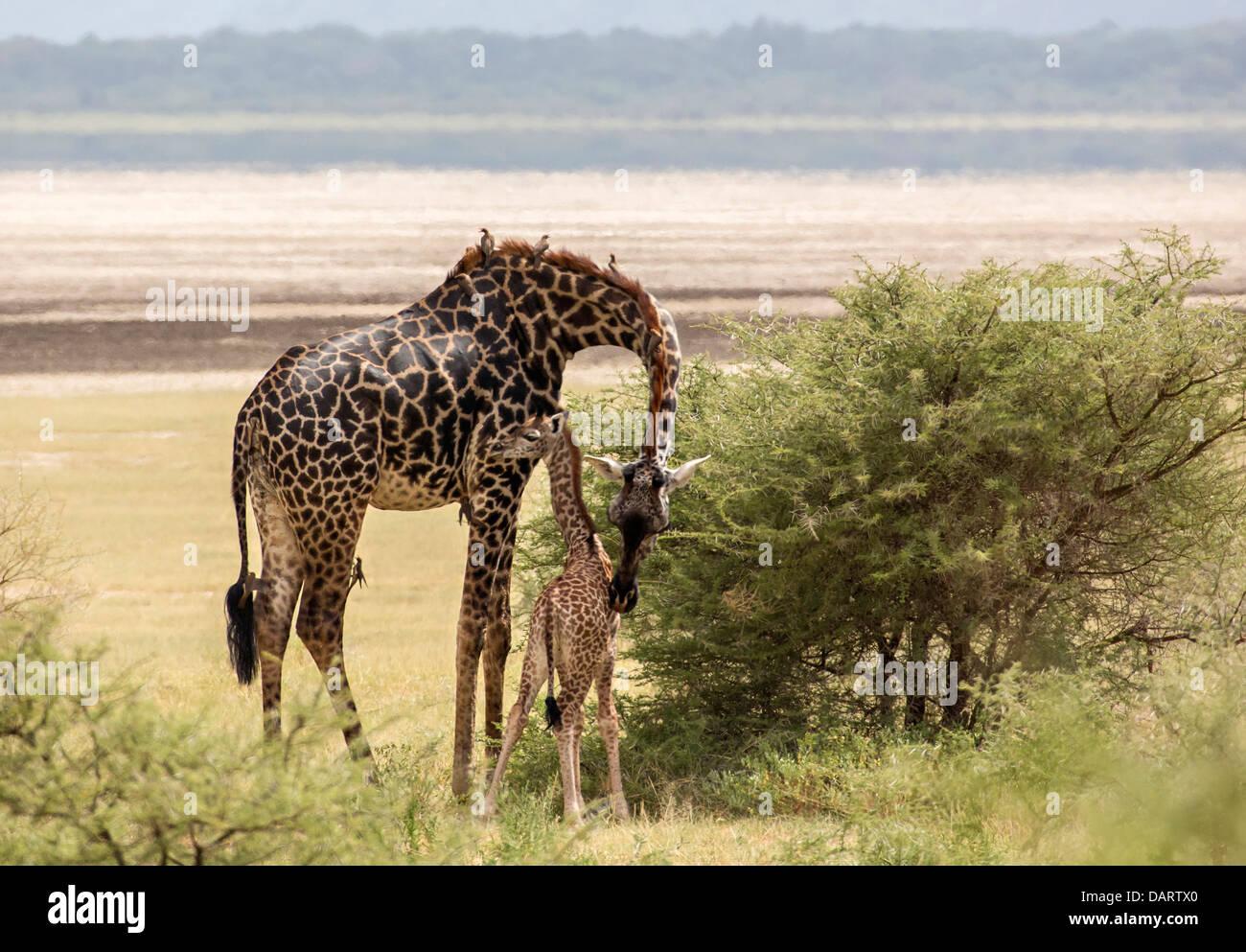 Africa, Tanzania, Lake Manyara National Park. Maasai giraffe (Giraffa camelopardalis tippelskirchi) and calf. - Stock Image
