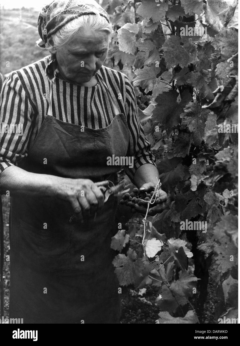 agriculture, wine, vintage at the Neckar, 1960s,  60s, vineyard, women, old woman, working, labour, West Germany, - Stock Image