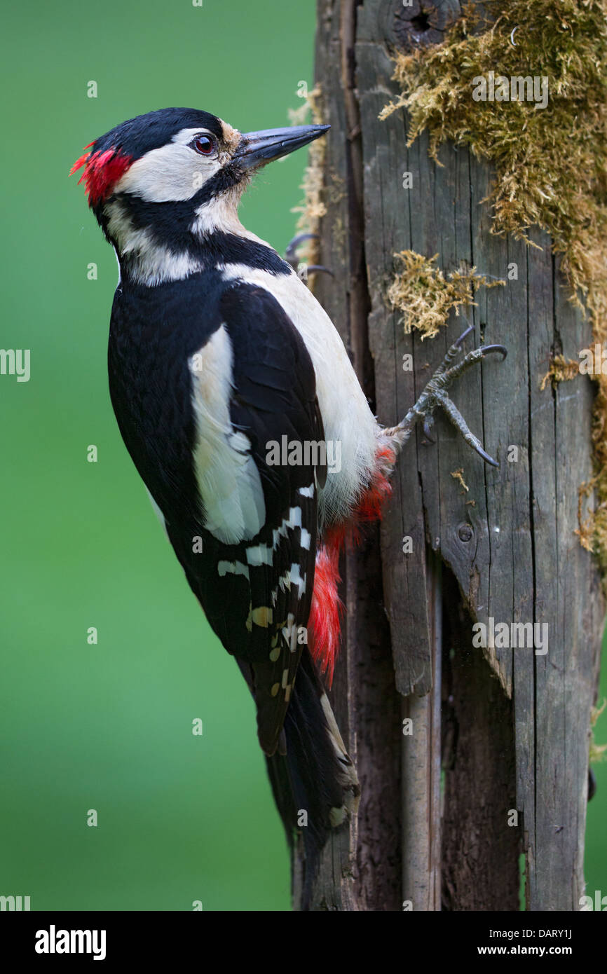 Close-up of a wild male great spotted woodpecker (Dendrocopos major) feeding on an old mossy wooden fence post, Stock Photo