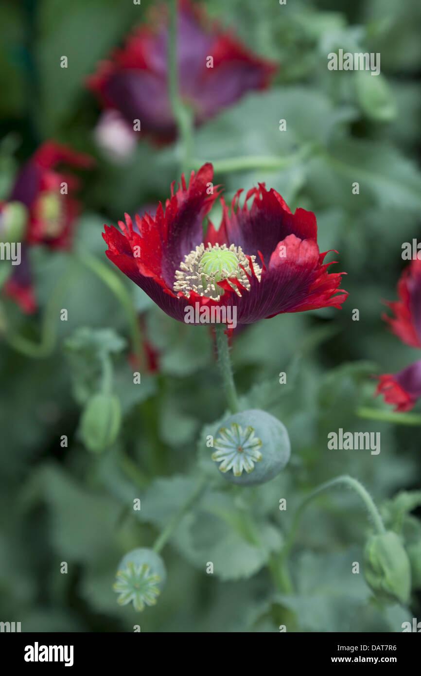 Papaver somniferum Drama Queen, lettuce leaved poppy - Stock Image