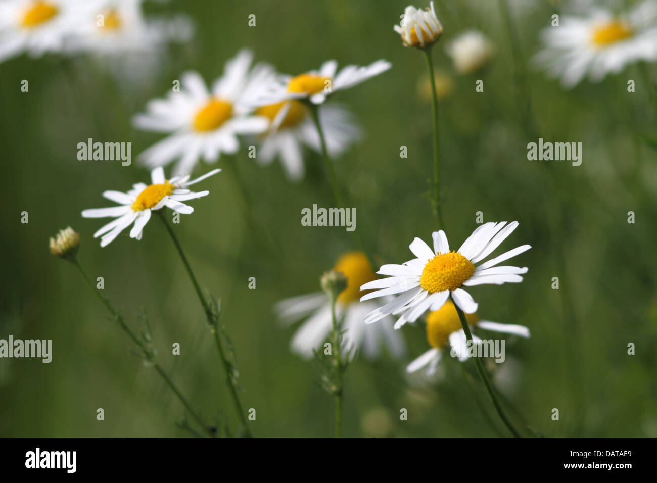 Wild summer flowers daisies growing in the green field stock wild summer flowers daisies growing in the green field izmirmasajfo