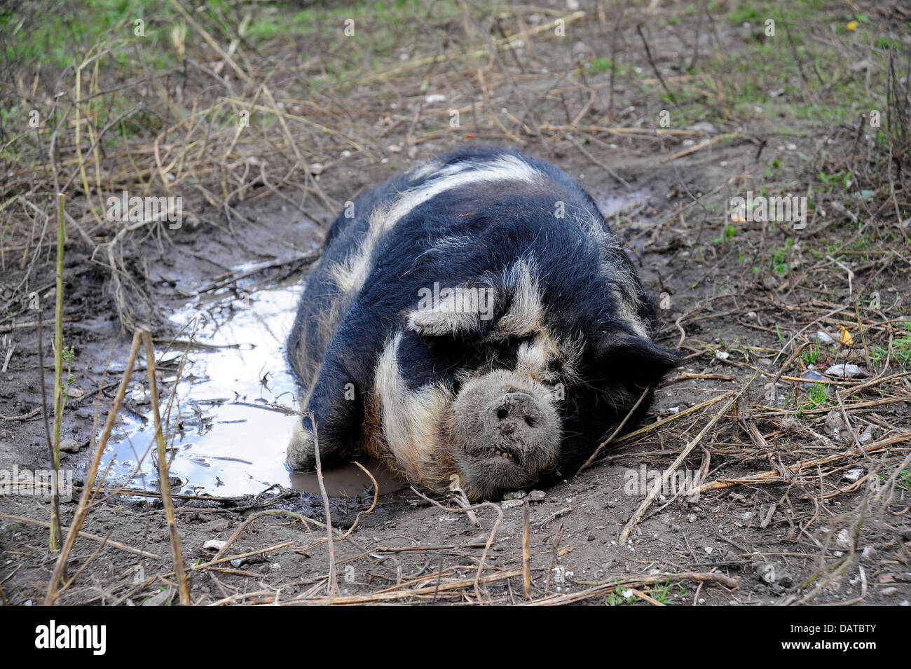 Why do pigs love mud? Pigs cannot sweat, and therefore cannot keep themselves cool like we humans can. Mud helps - Stock Image