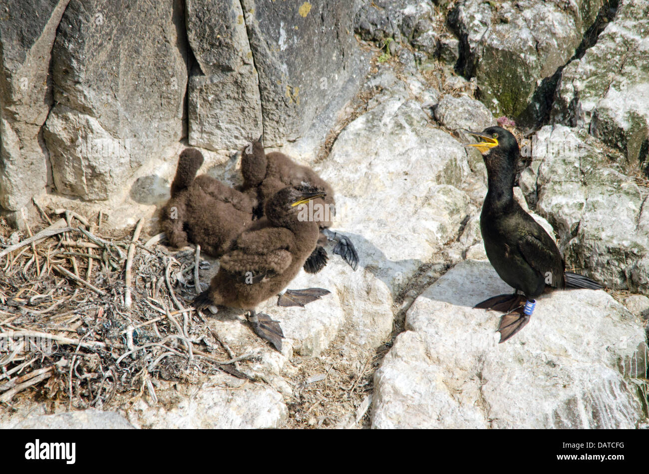 Shag and juveniles - Stock Image