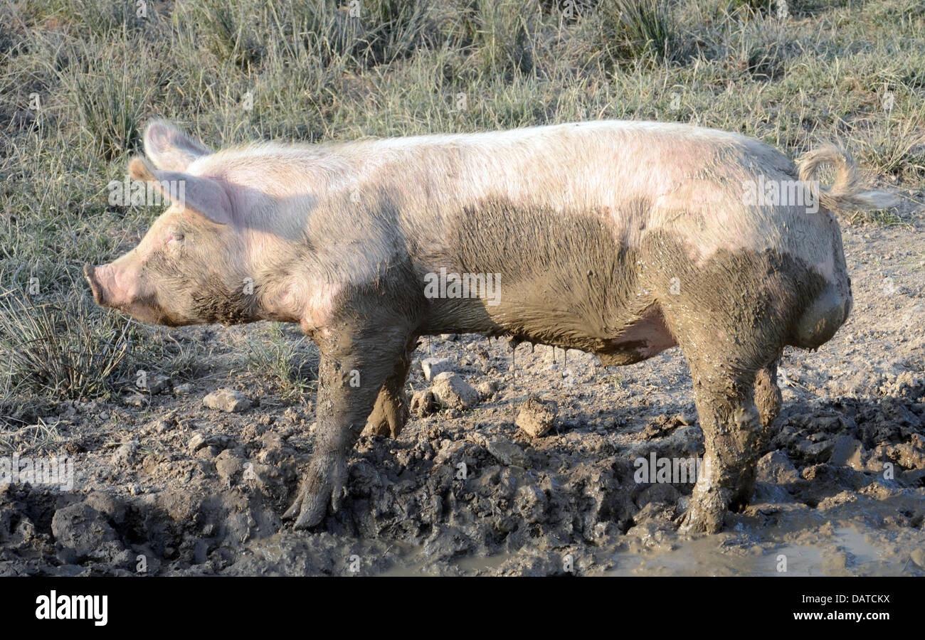 Why do pigs love mud? Pigs cannot sweat, and therefore cannot keep themselves cool like we humans can. Mud helps Stock Photo