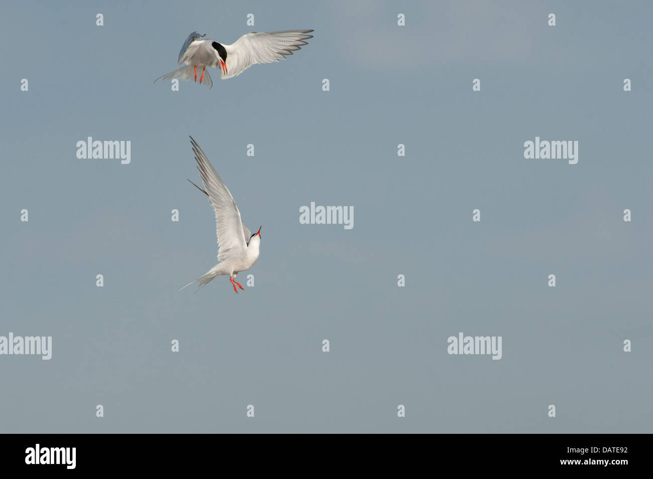 Common terns in aerial skirmish - Stock Image