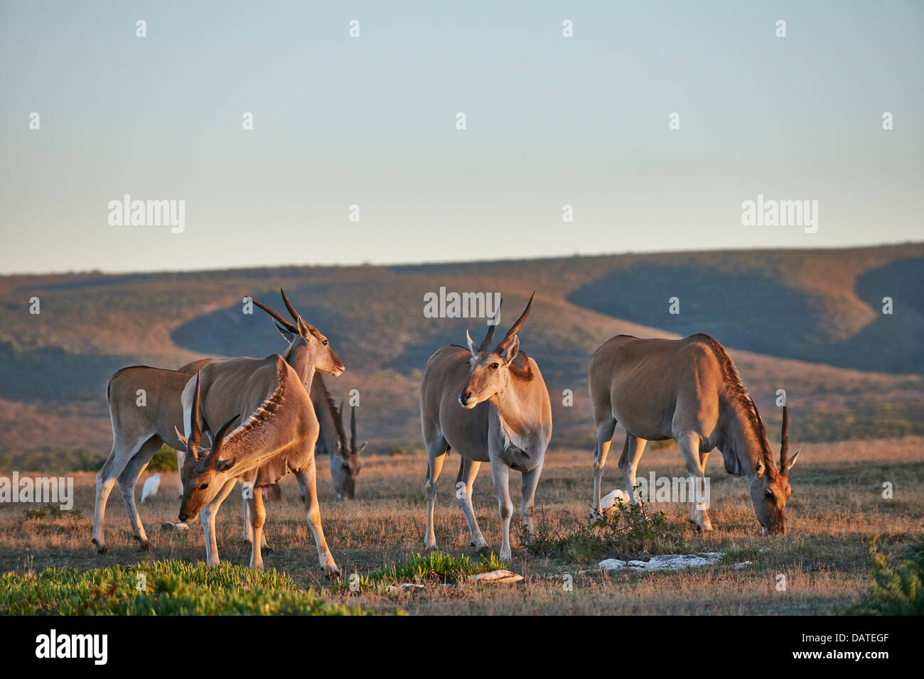 Common eland (Taurotragus oryx), De Hoop Nature Reserve, Western Cape, South Africa - Stock Image