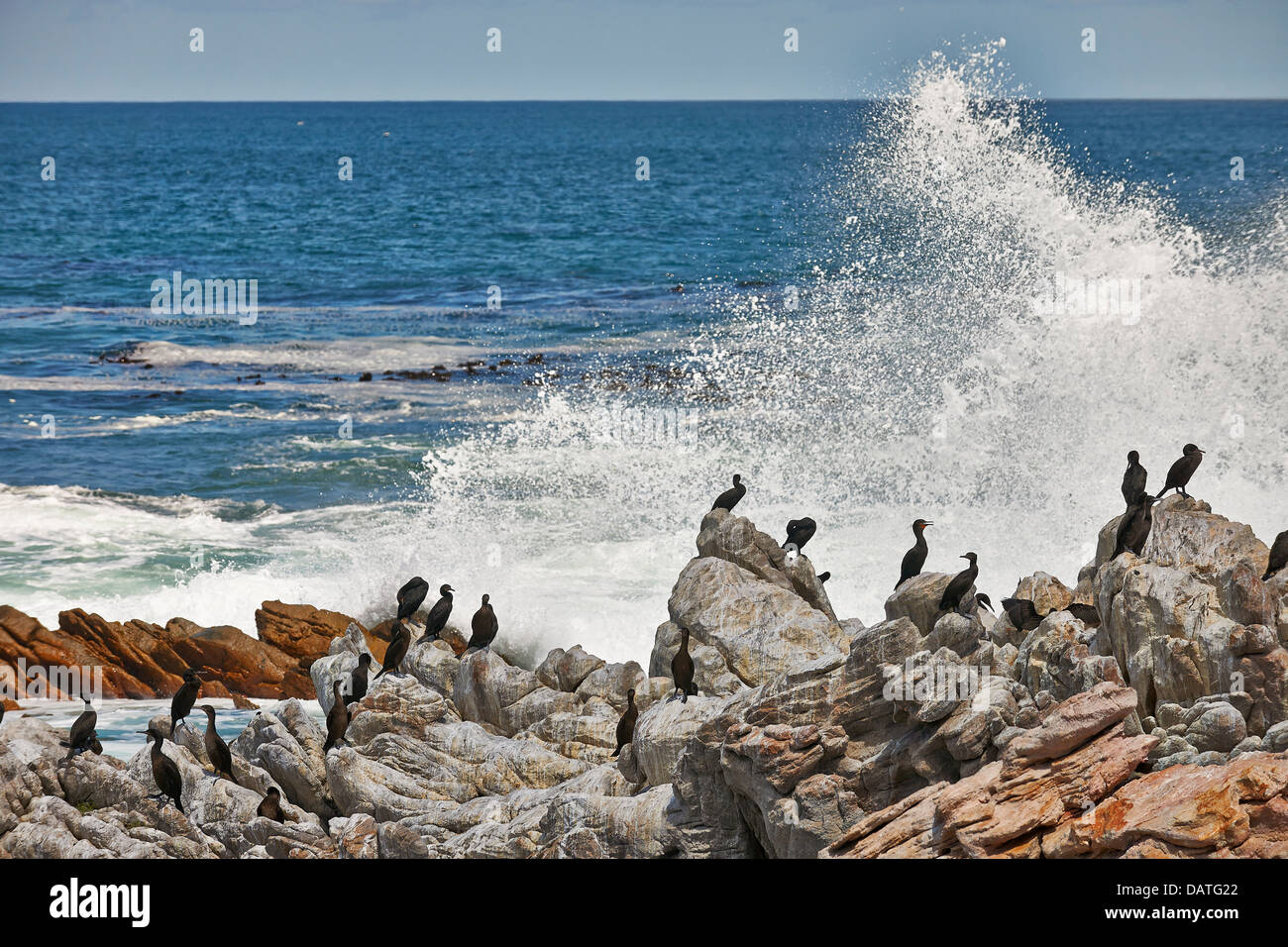 waves breaking behind a colony of Cormorant, Betty's Bay, Cape Town, Western Cape, South Africa - Stock Image