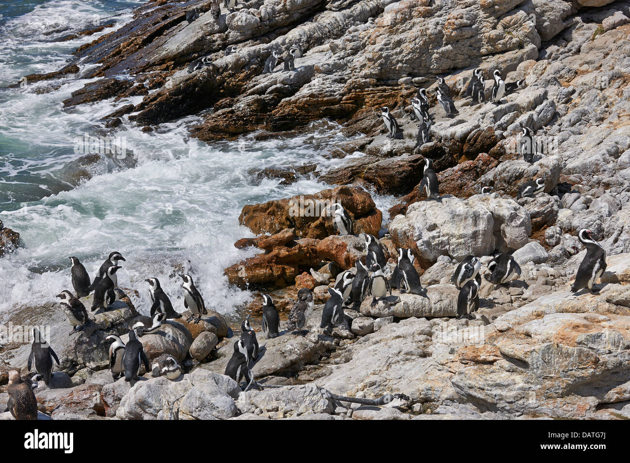 colony of African Penguin, Spheniscus demersus, on rocks of Betty's Bay, Cape Town, Western Cape, South Africa - Stock Image