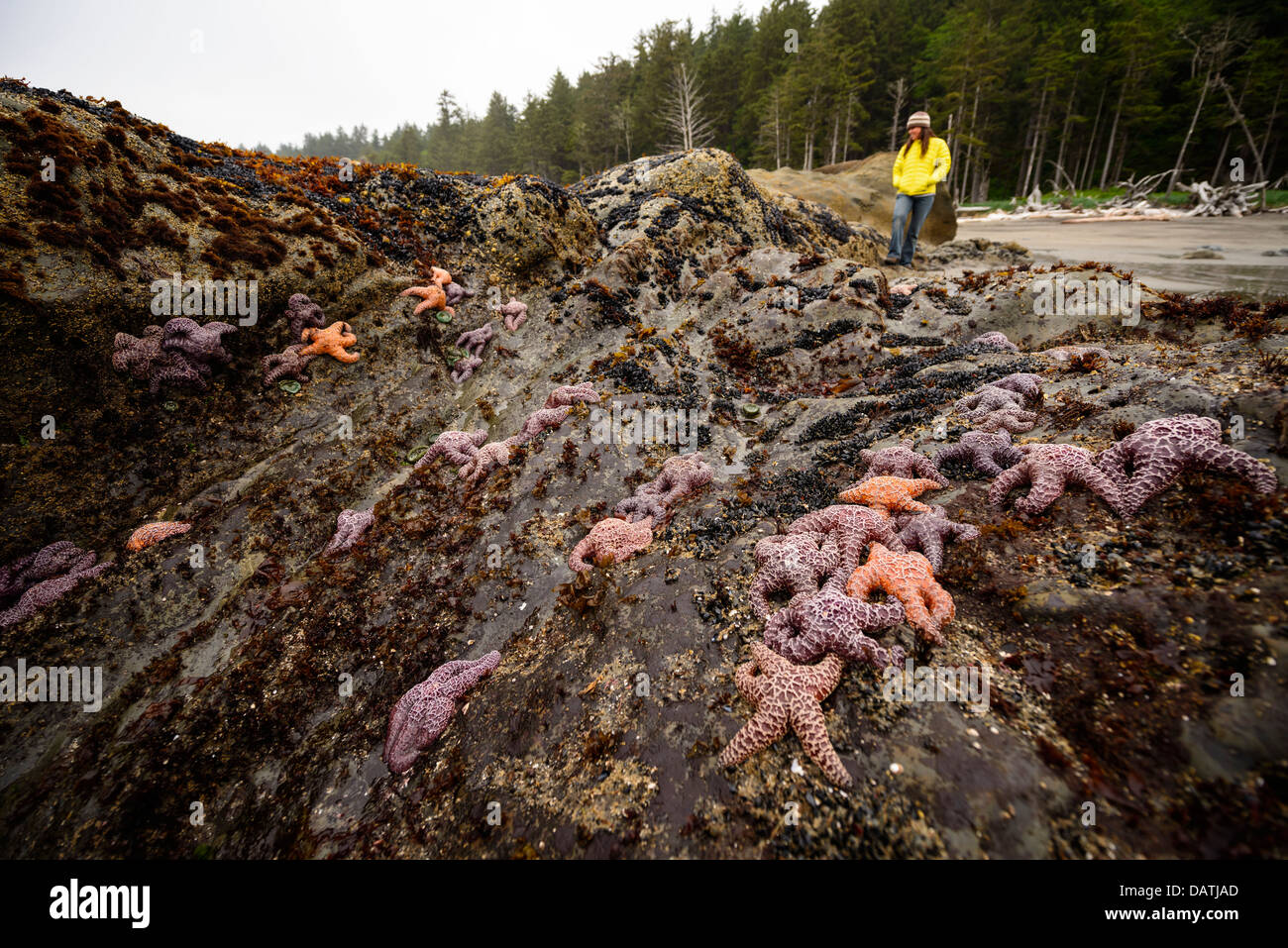 A woman looks at groups of Starfish along the Wilderness Coast at low tide in Olympic National Park in WA, USA - Stock Image